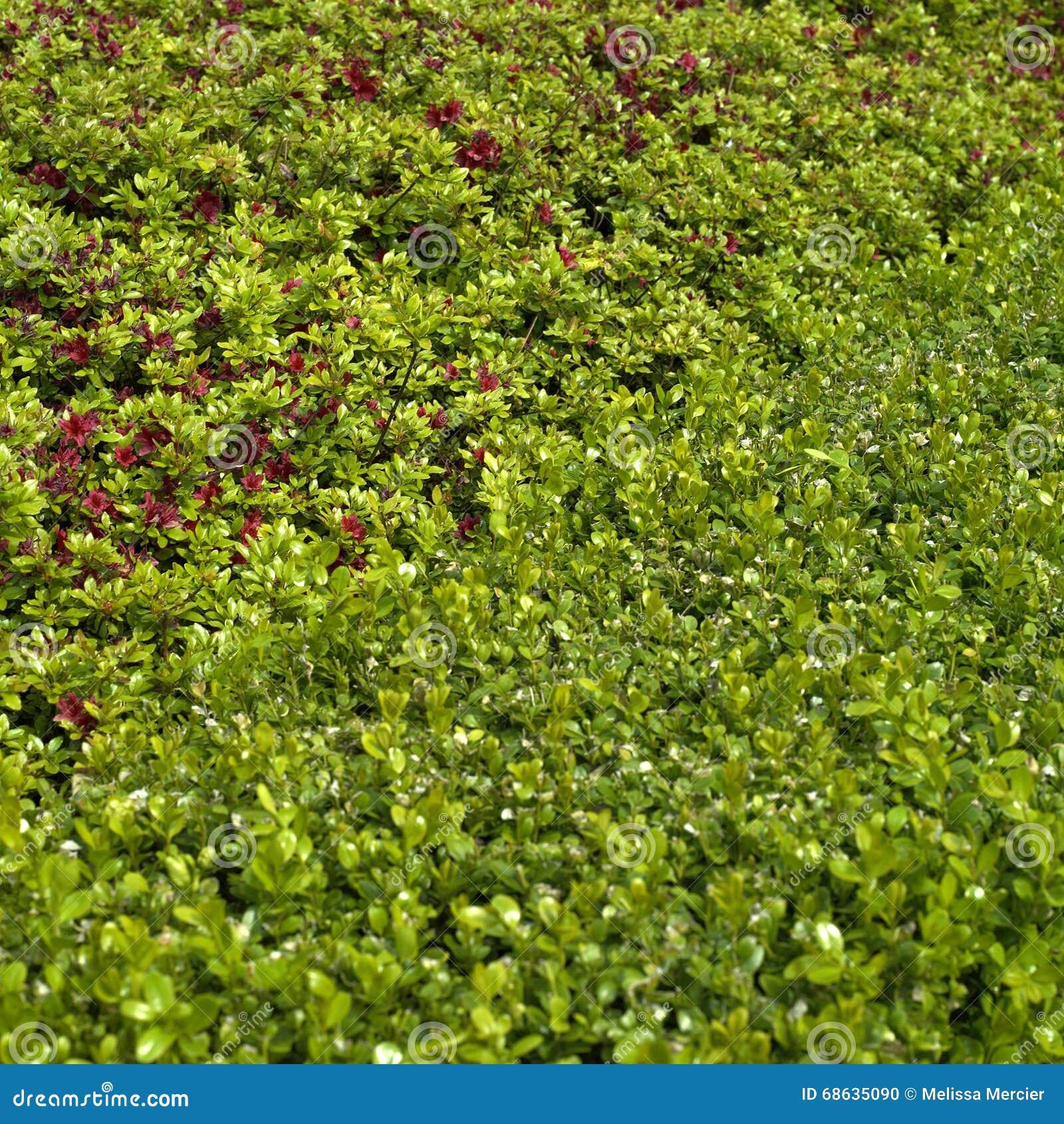 Blühende Hecke stockfoto Bild von wachsen hecke genau
