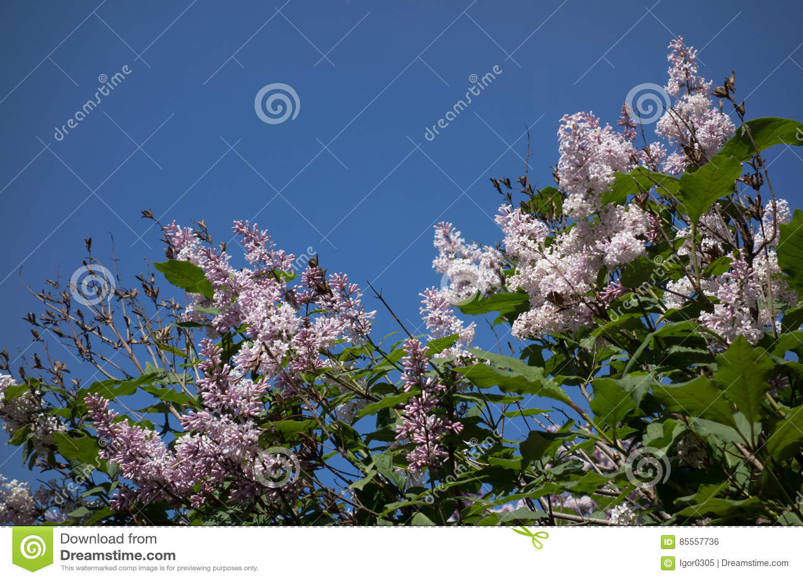 Blühende lila Blumen