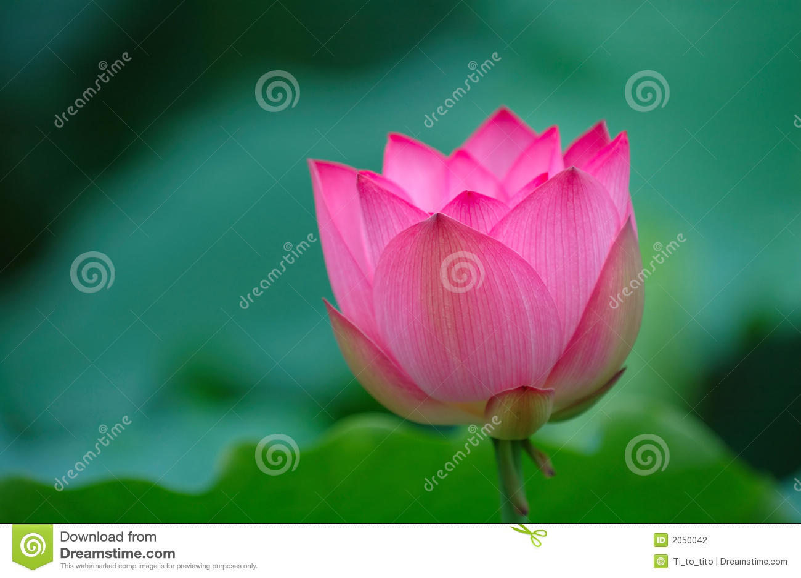 Blühende Lotosblume mit Scharfem