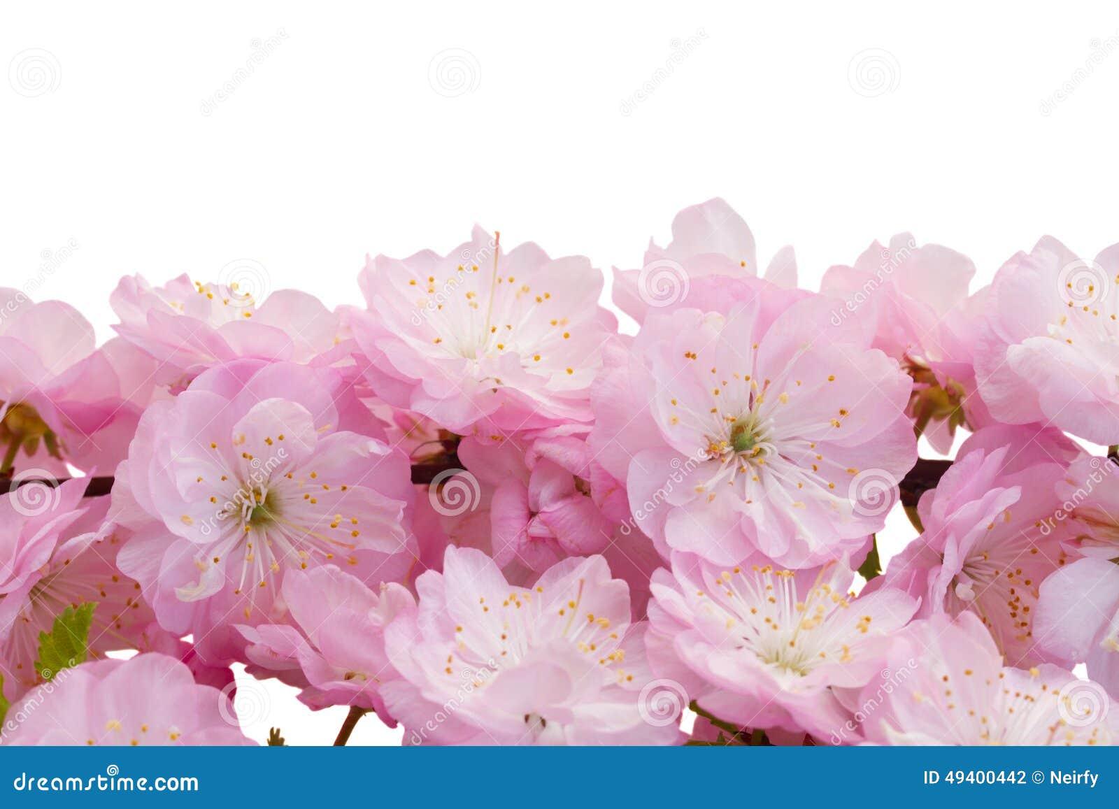 Download Blühende rosa Baum Blumen stockfoto. Bild von blüte, botanik - 49400442