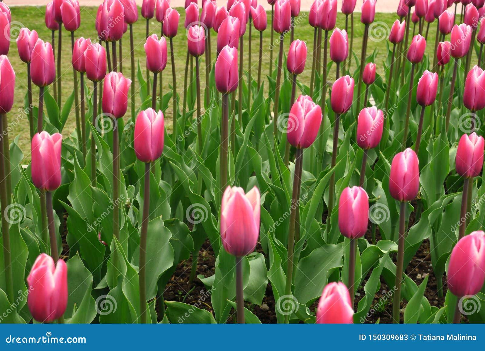 Blühende rosa Tulpenansicht des Frühlinges Blühender Garten der Tulpen im Frühjahr Blühende rosa Tulpenblumen im Frühjahr Frühlin