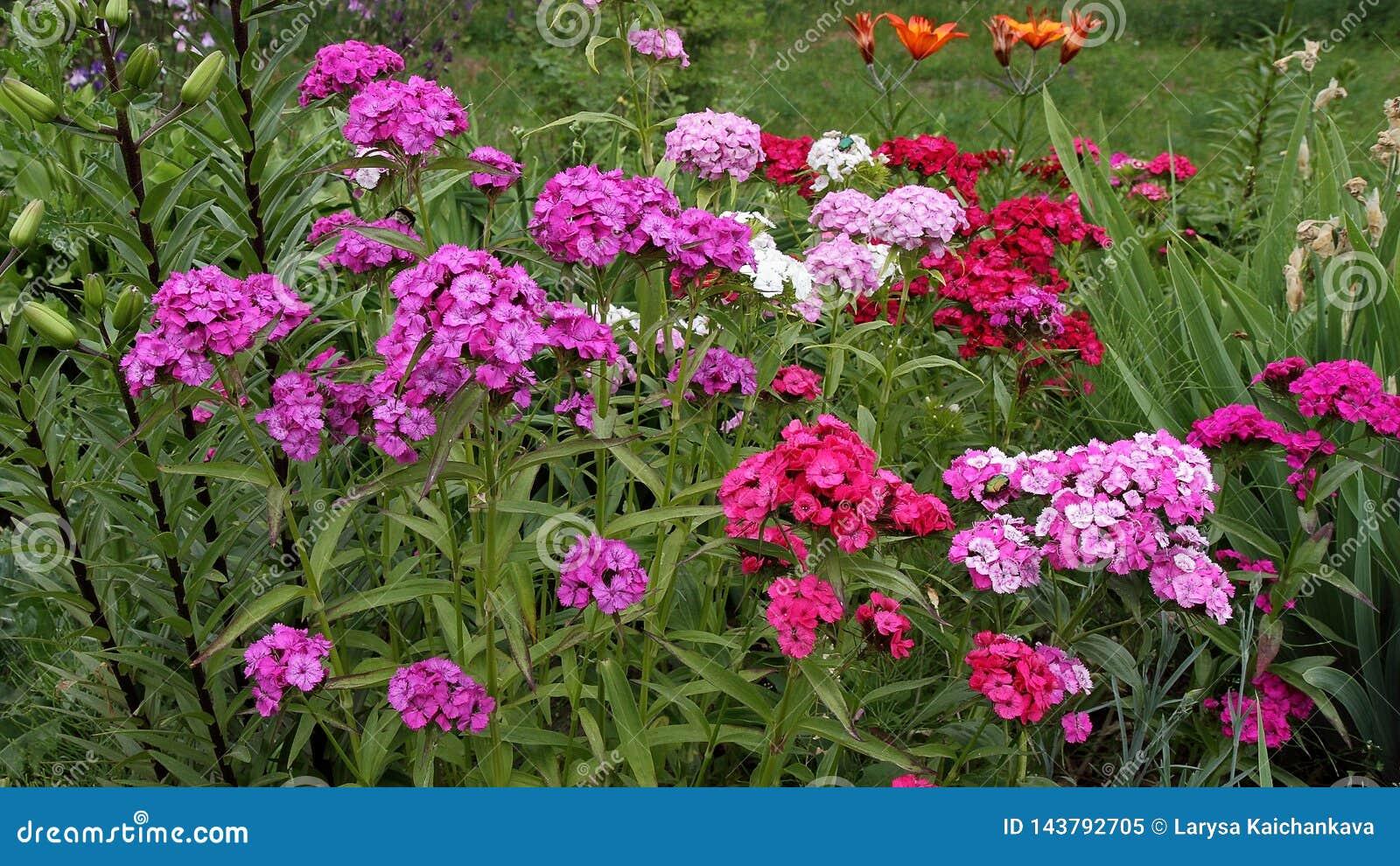 Blühende türkische Gartennelke, Mischungsfarben