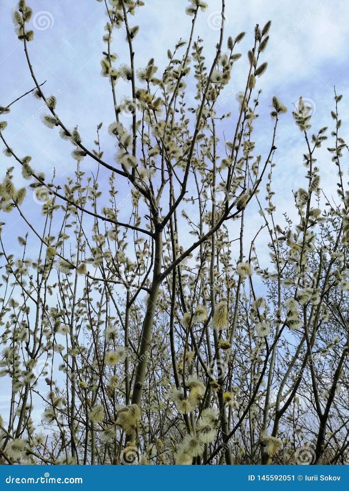 Blühende Weide gegen den Himmel