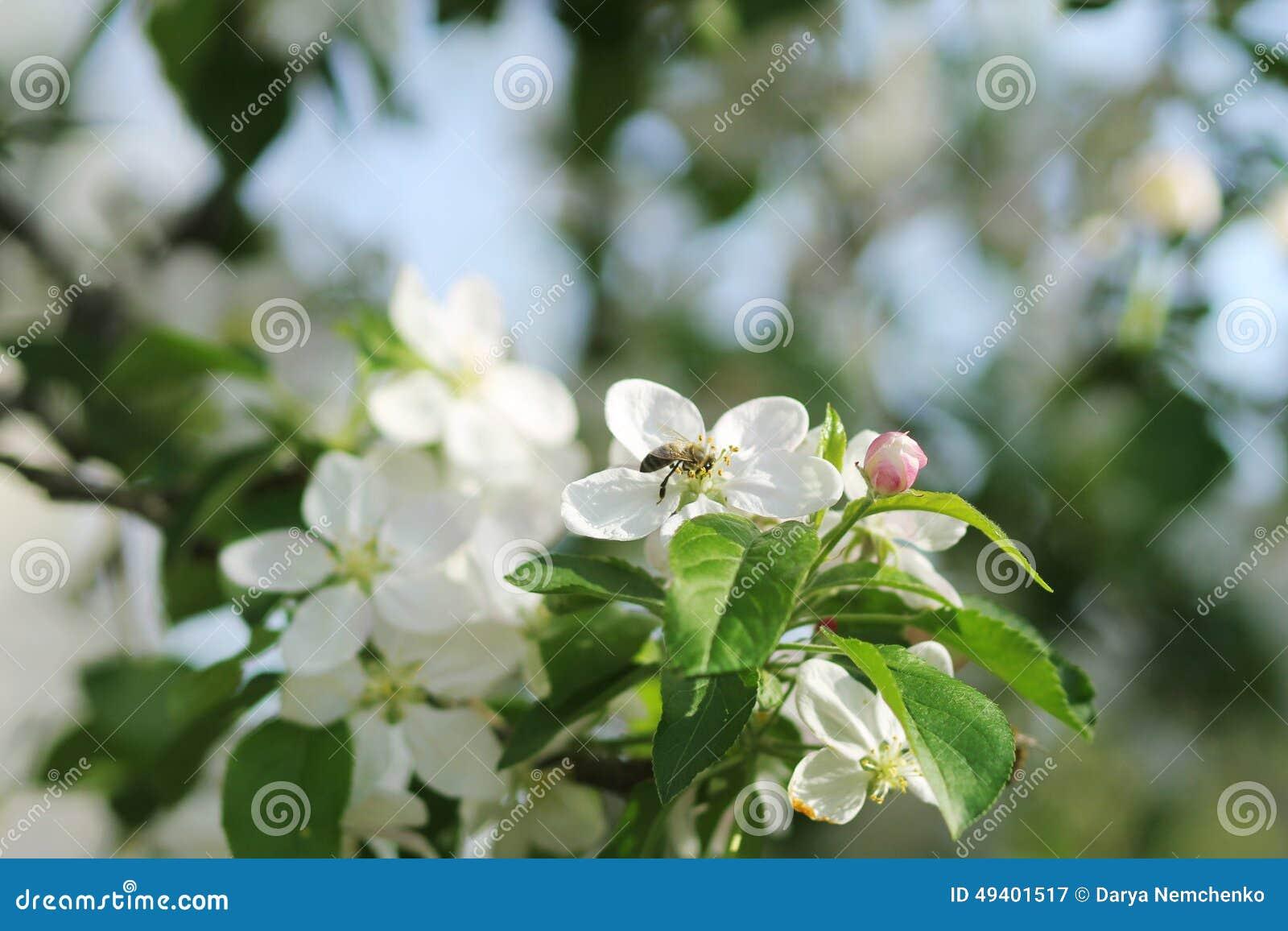 Download Blühender Apfelbaum stockbild. Bild von blüte, fauna - 49401517