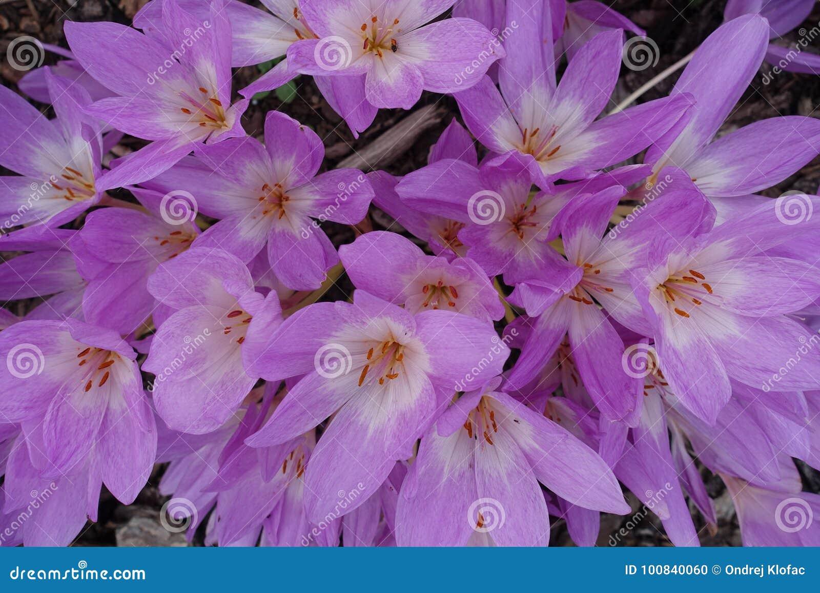 Blühender blühender Blumen-Hintergrund Violet Purple Crocus And Green