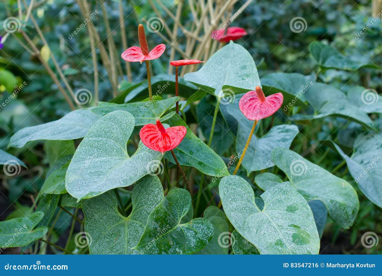 Blühender Busch des Blütenschweifs in einem tropischen Wald