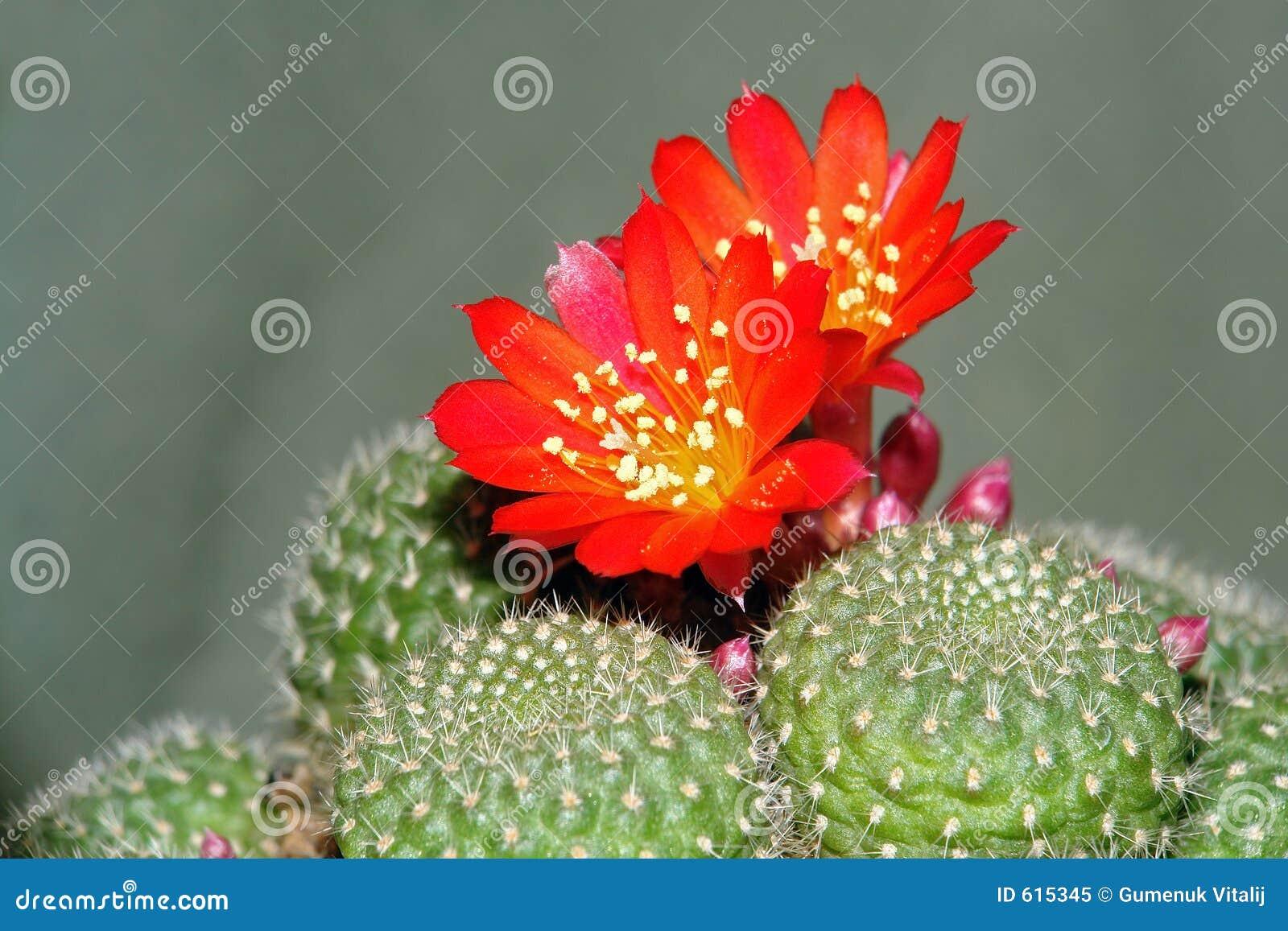 Blühender Kaktus.