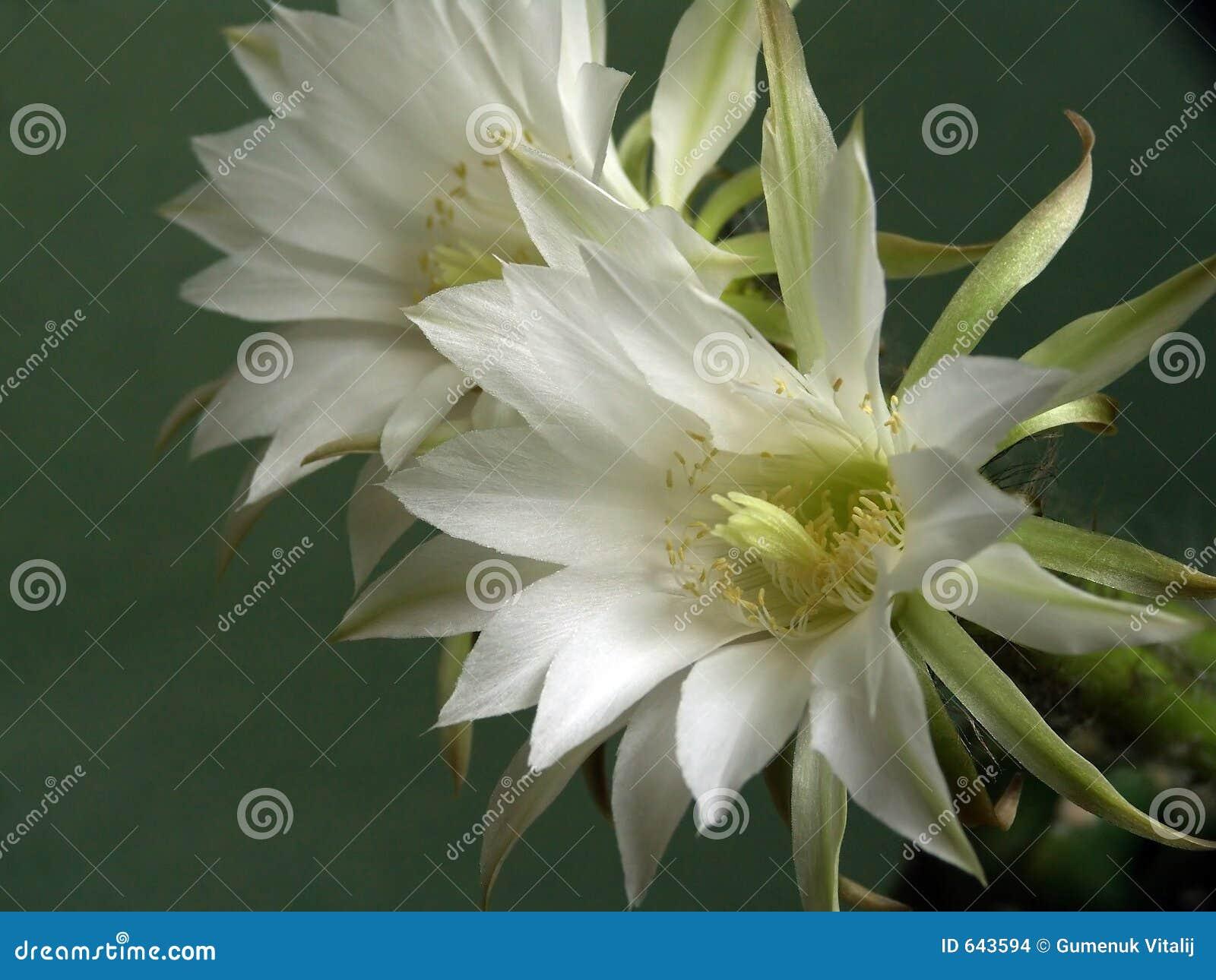 Blühender Kaktus der Familie Echinopsis.