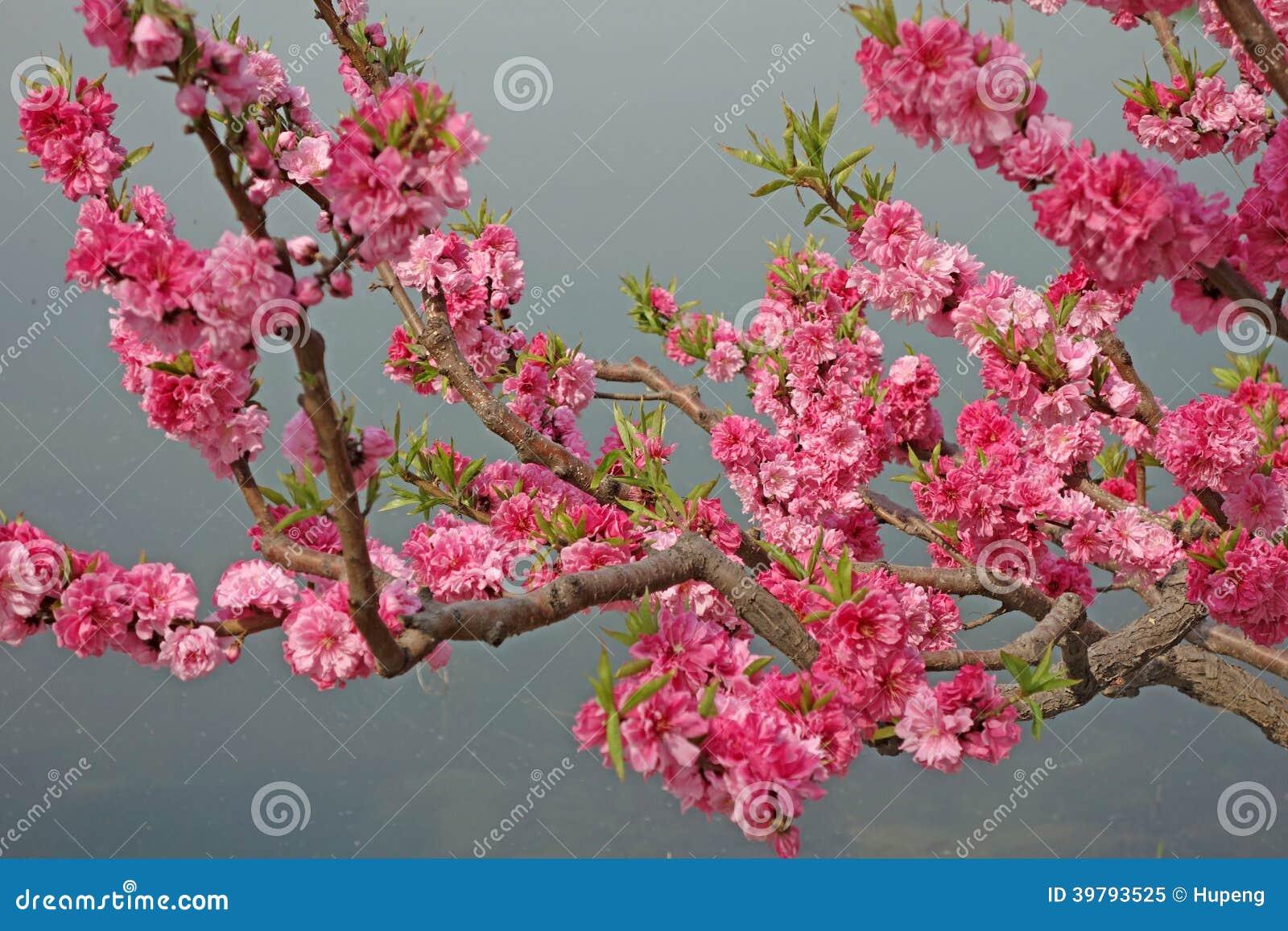 Blühender Pfirsich