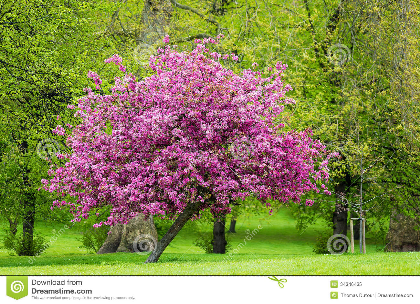 bl hender rosa baum lizenzfreies stockfoto bild 34346435. Black Bedroom Furniture Sets. Home Design Ideas