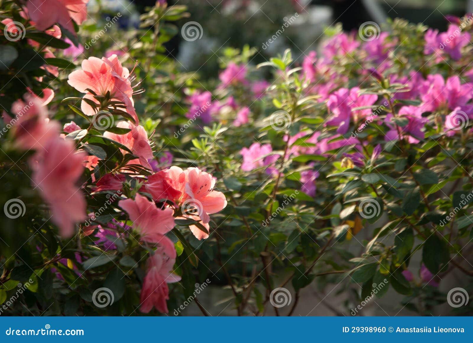 bl hender rosa rhododendron azalee. Black Bedroom Furniture Sets. Home Design Ideas