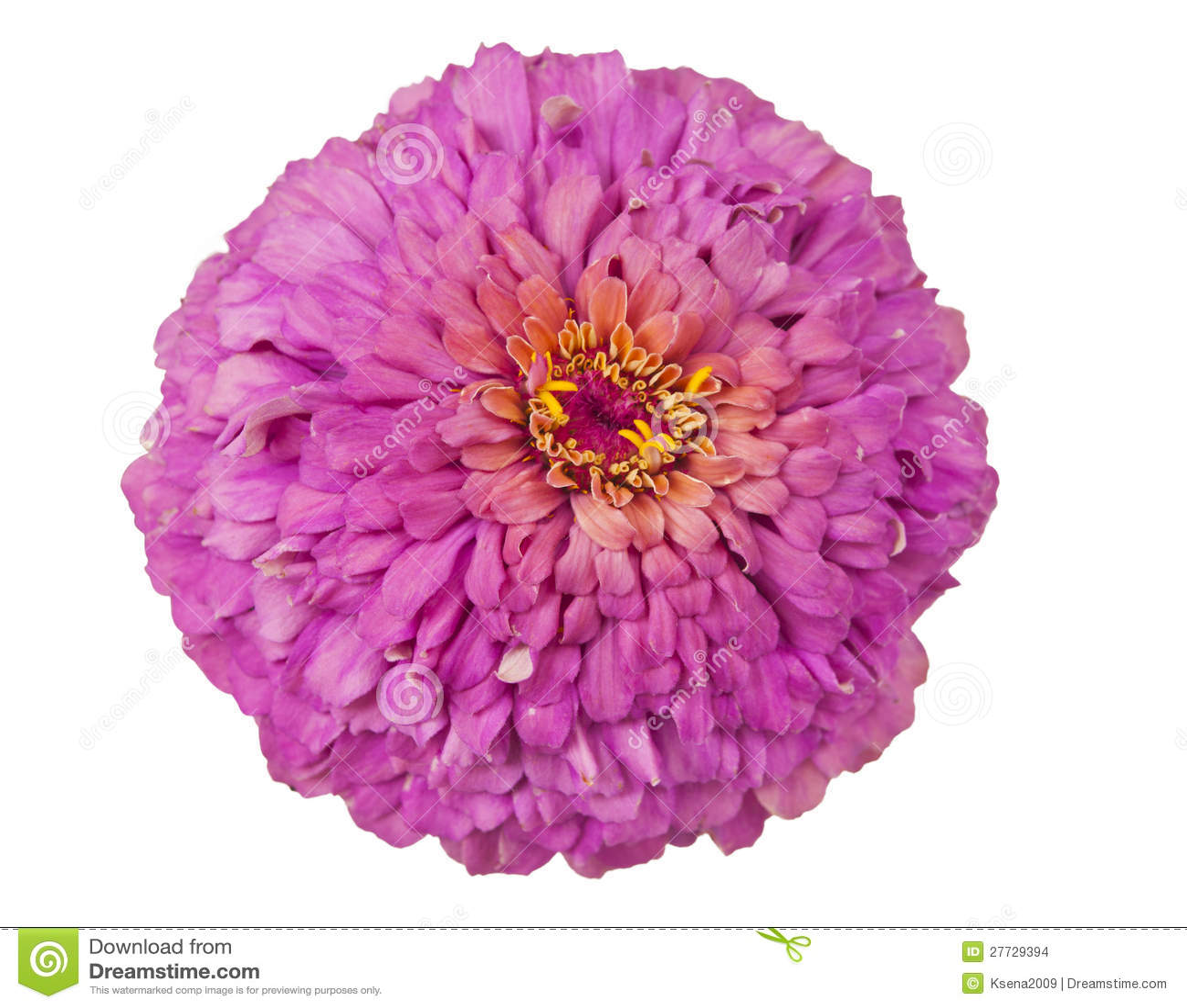 Blühender rosafarbener Zinnia