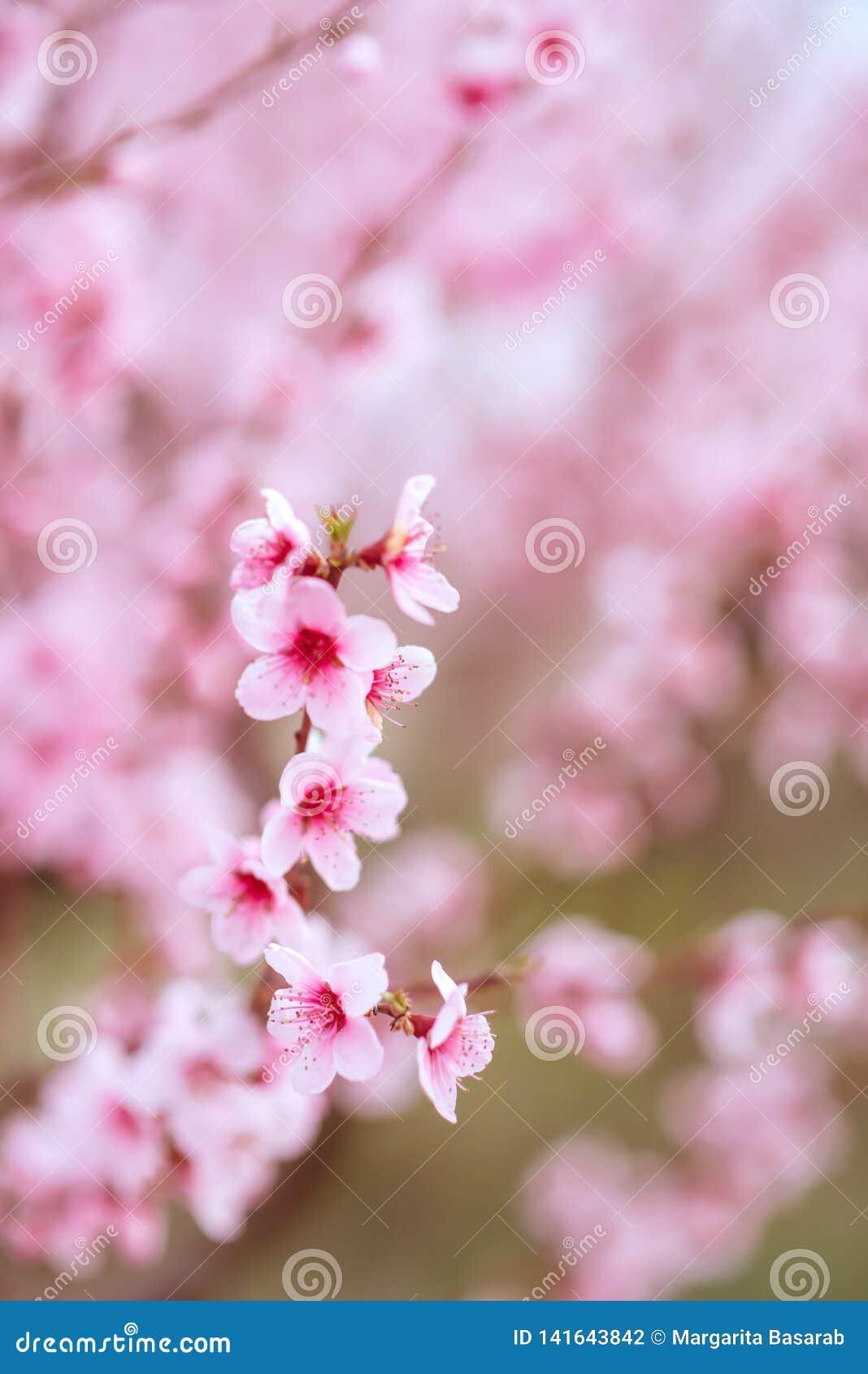 Blühender Rosenhintergrund des Sommers