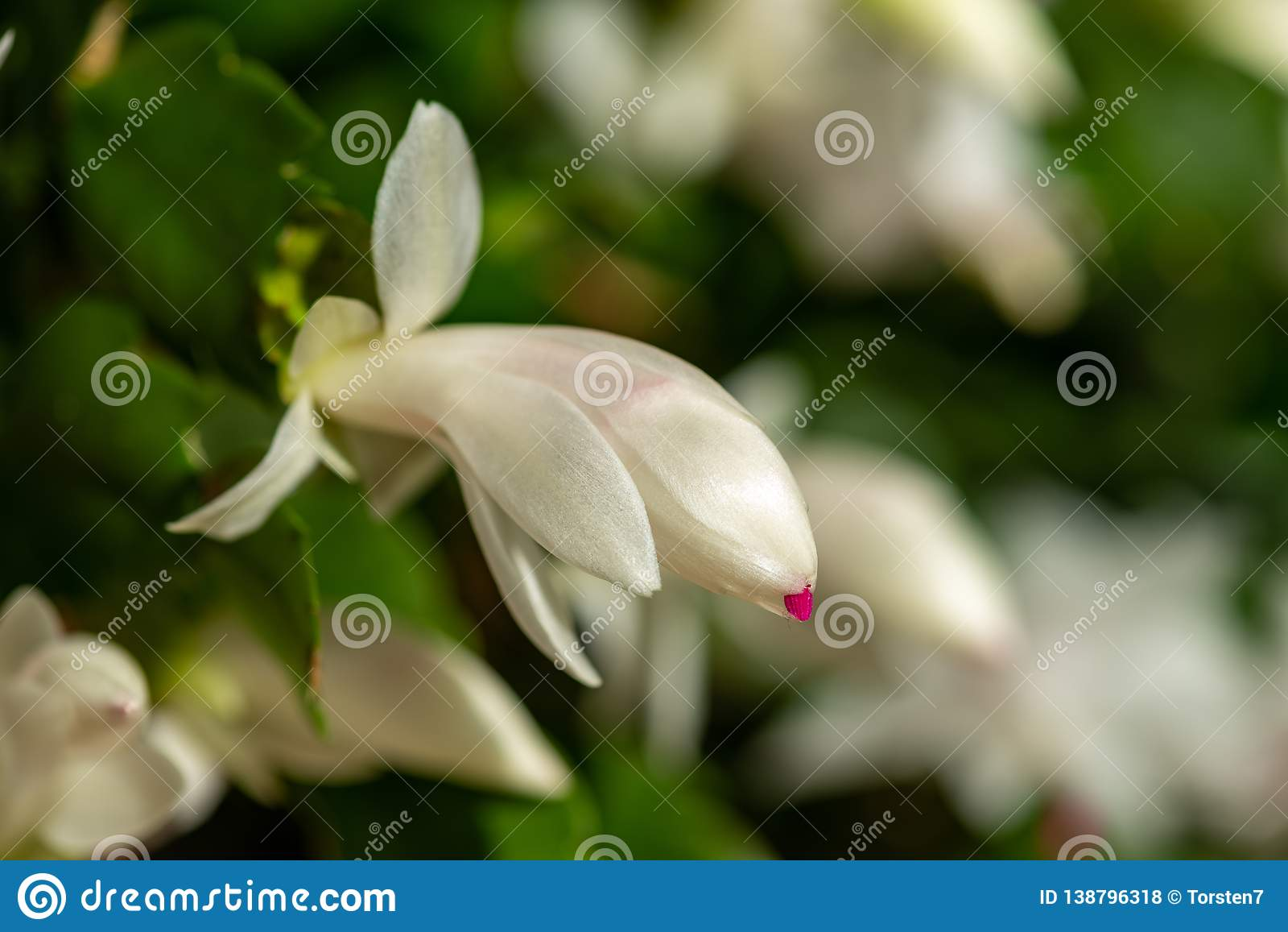 Blühender Weihnachtskaktus mit weißen Blüten