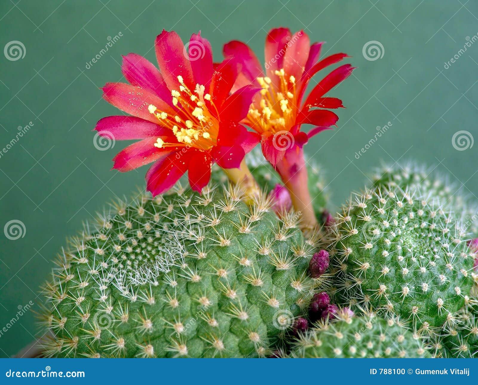 Blühendes Kaktus Rebutia mansoneri