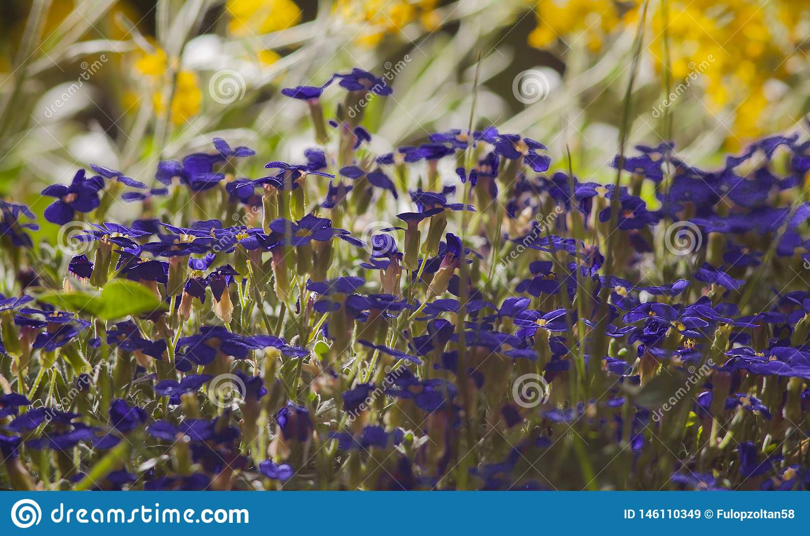Blühendes purpurrotes aubrieta und gelben Alyssum in der Hintergrundbeleuchtung verwischen