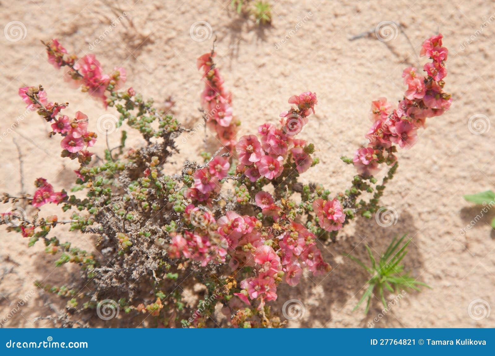 Blühendes Salsola divaricata