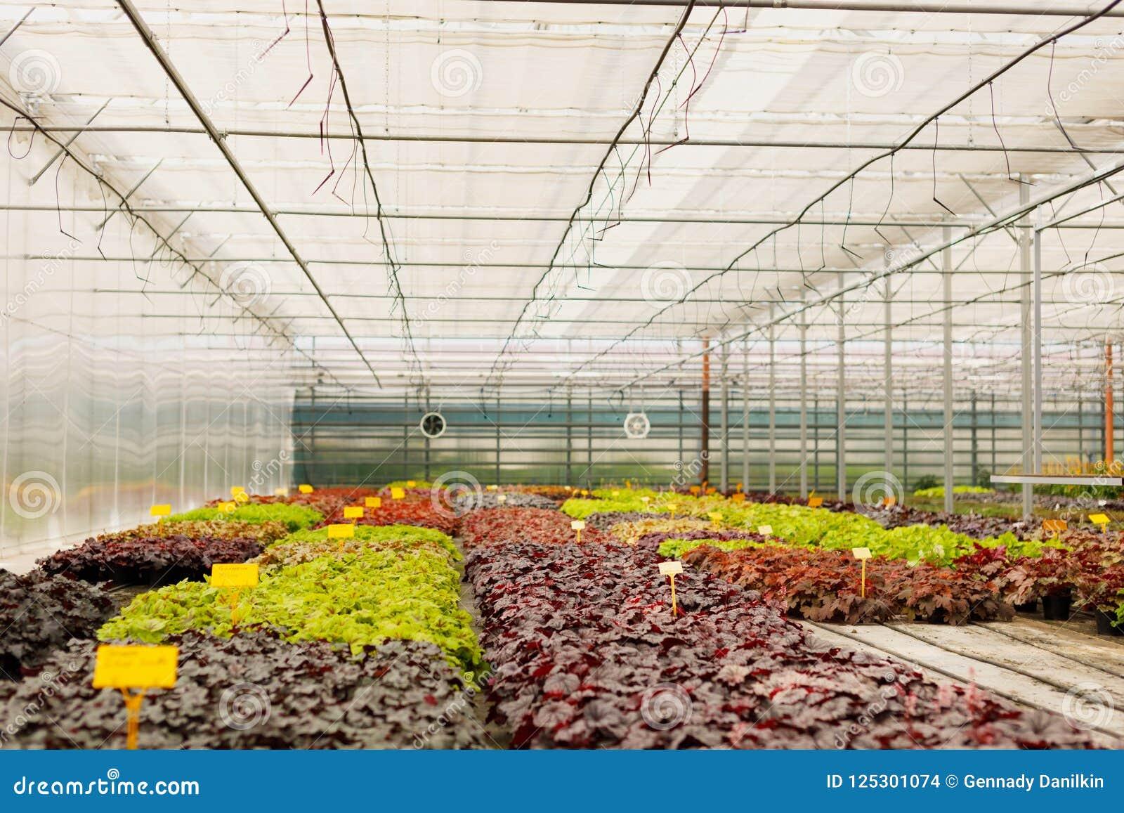 Bluht Bearbeitung In Einem Grunen Haus Produktionsblumen