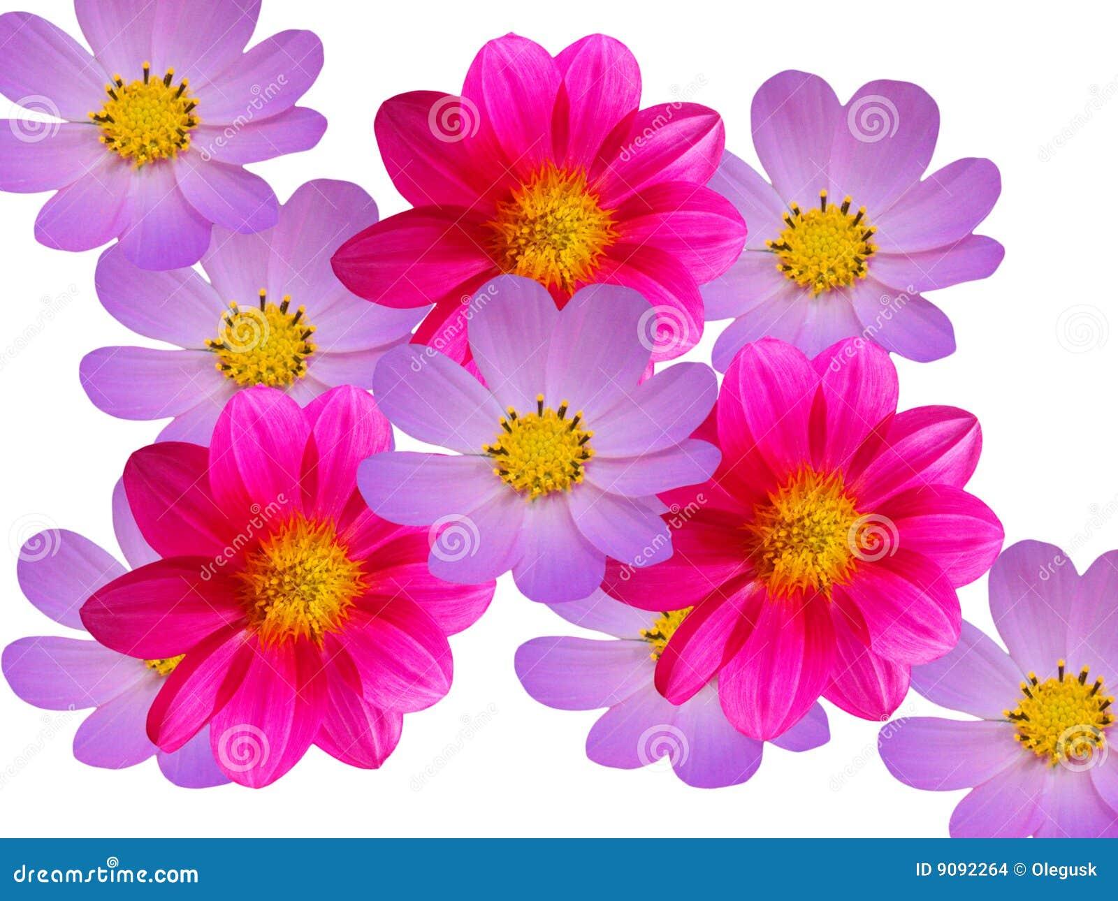 Blüht die roten blauen dekorativen camomiles
