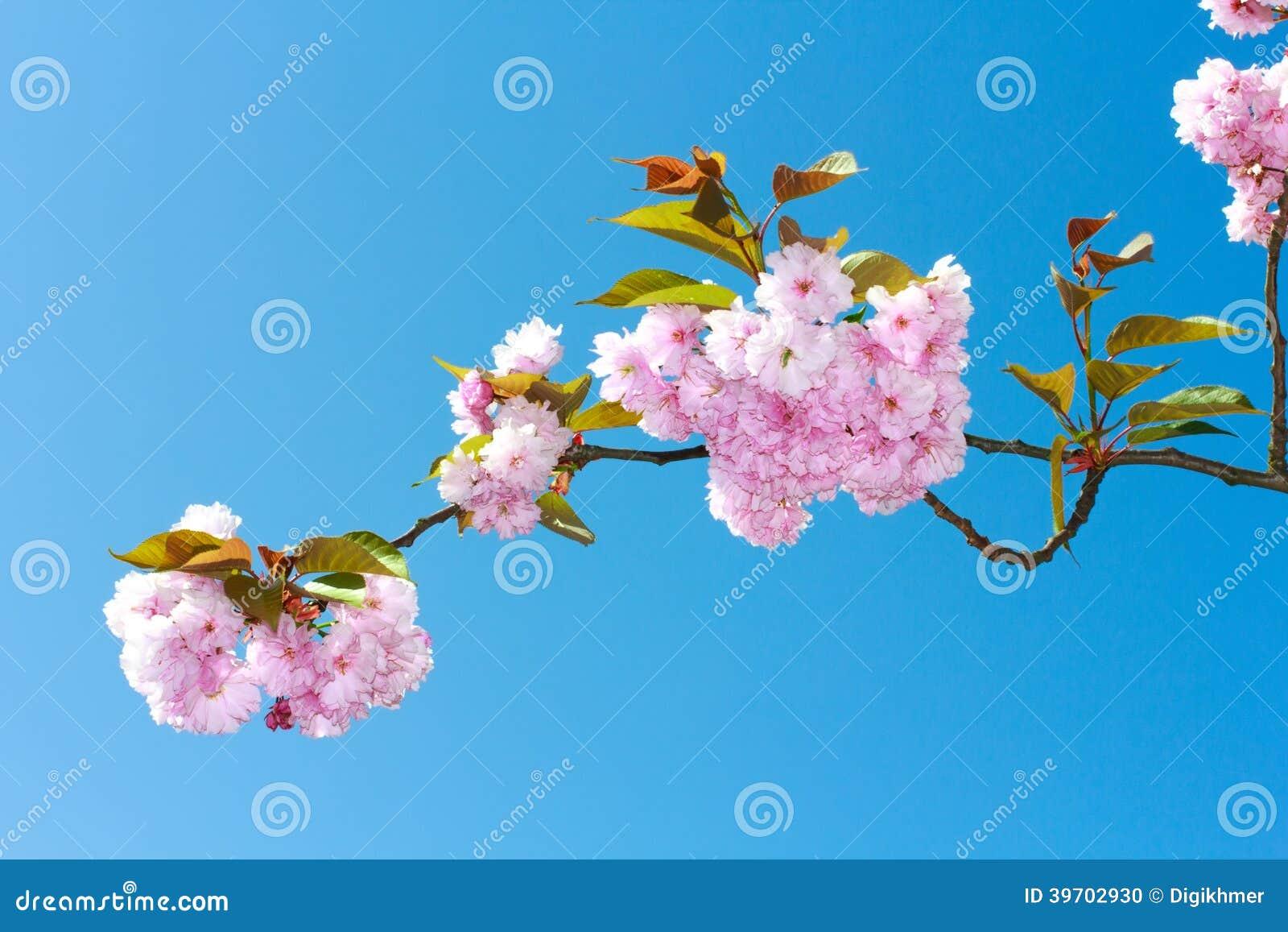 Blüht Kirschblüte-Frühlingsrosablüten