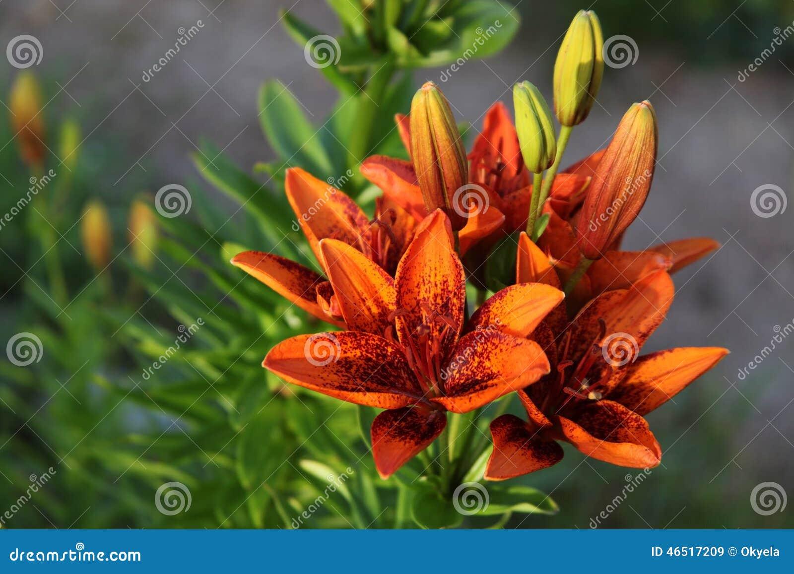 Blüht Rote Gartenlilien Stockbild Bild Von Vielzahl 46517209