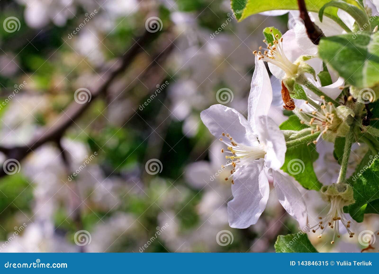 Blüte des Kirschbaums mit Sonnenlicht als dem Zeichen der Frühlingszeit Frühlings-Kirschblüten, weiße Blumen Sonniger Frühlingsta