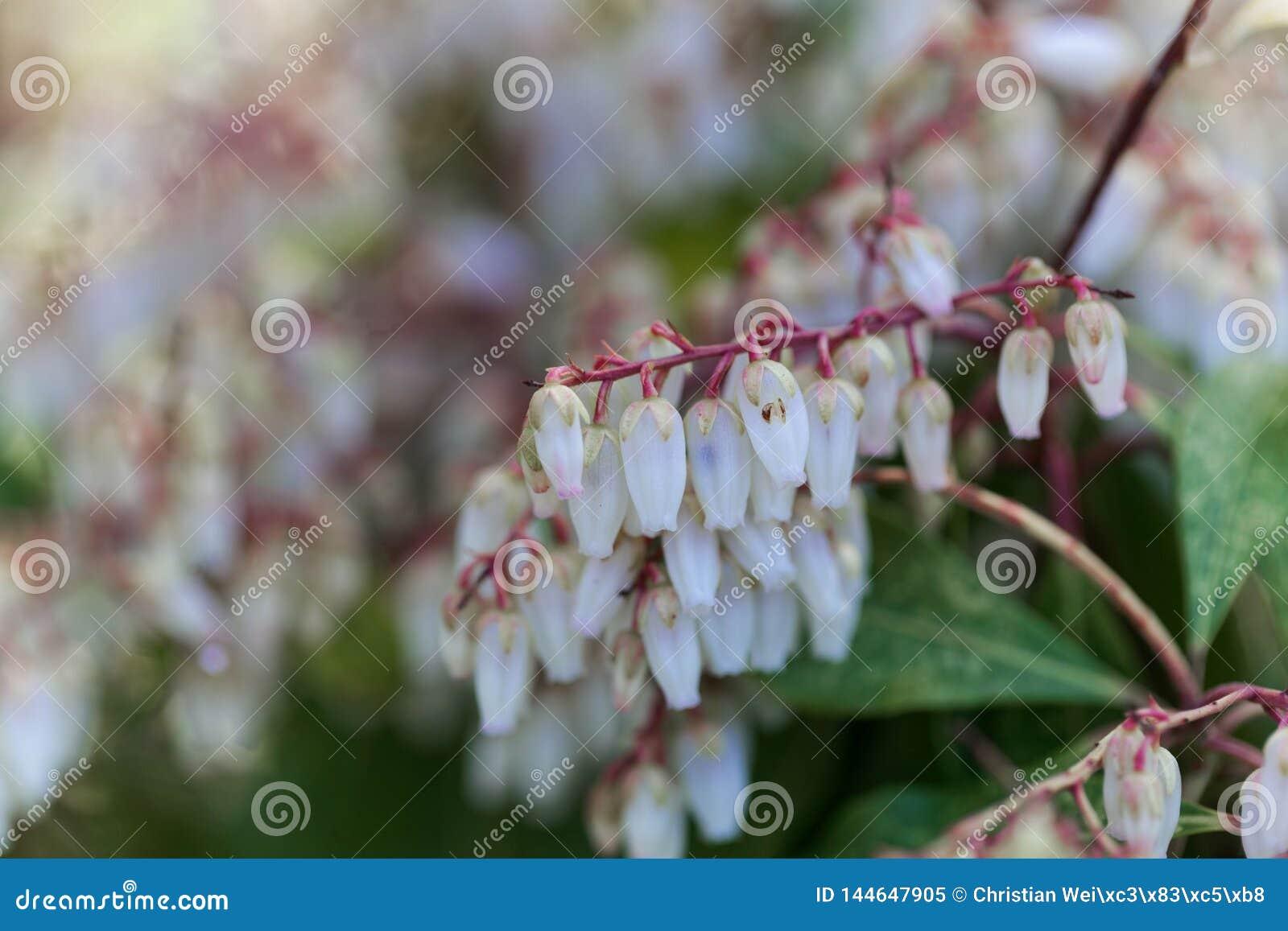 Blüten eines japanischen Andromeda, Pieris japonica