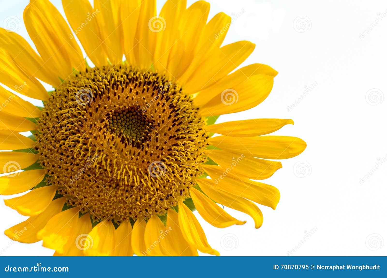 Blütenstaub der Sonnenblume