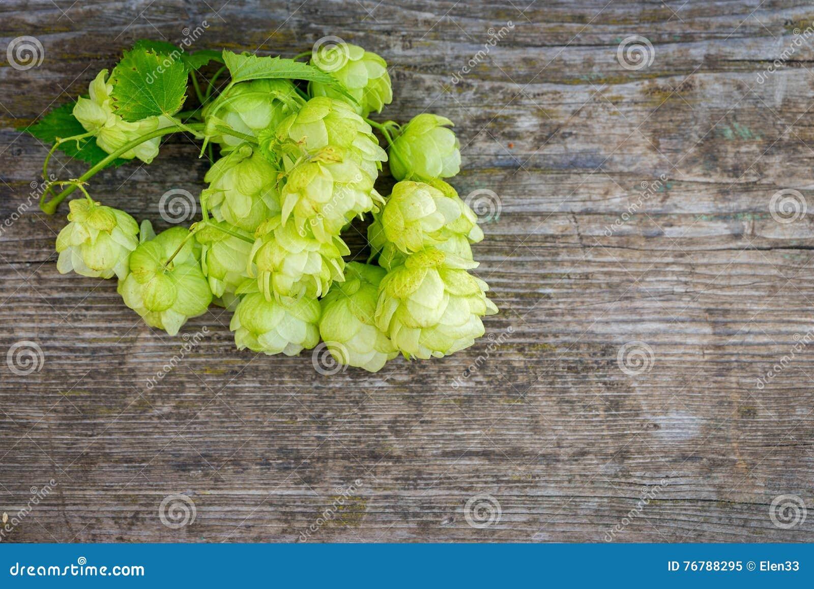 Blütenzapfen des Hopfens