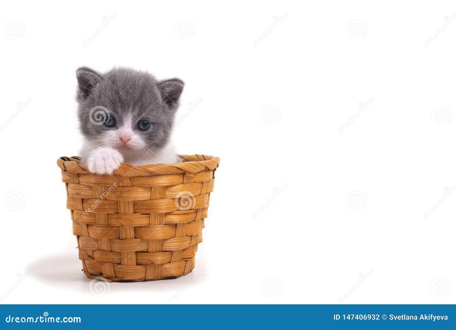 Bl? bicolor brittisk kattunge som sitter p? en vit bakgrund i en vide- korg Utrymme för inskrift på rätten