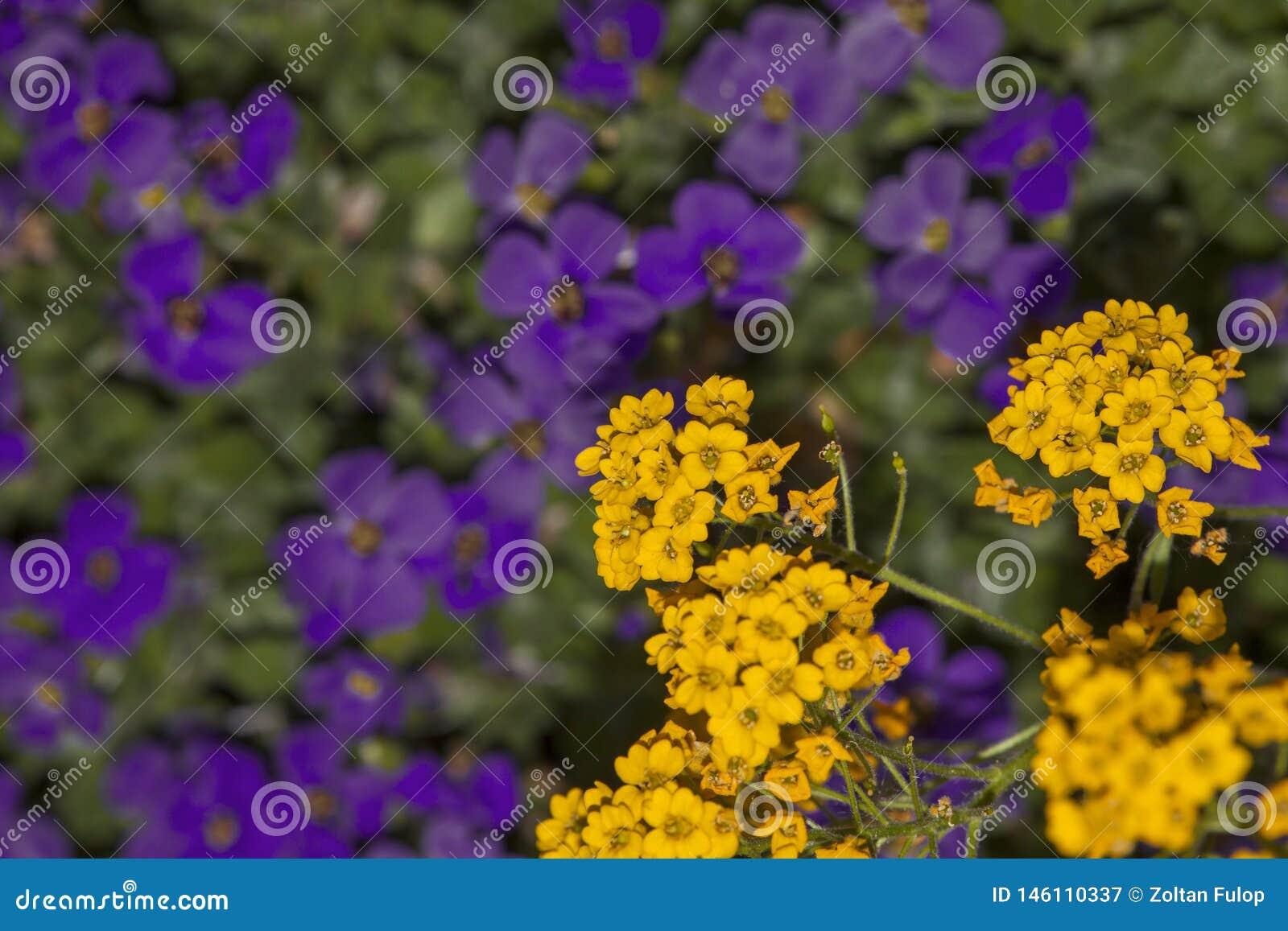 Bl?hender gelber Alyssum und purpurrotes aubrieta verwischen