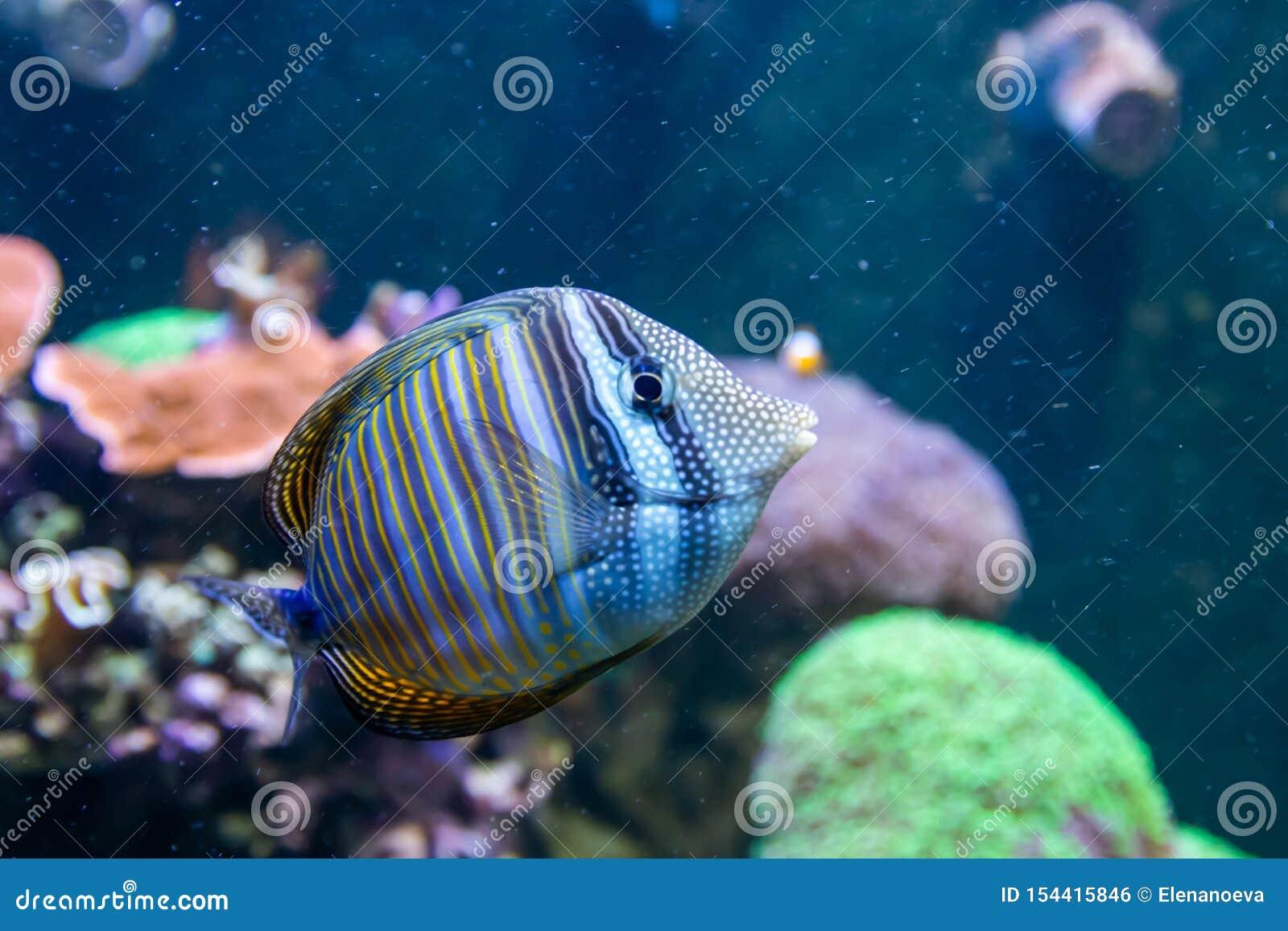Bl? Tang Surgeon Fish - Paracanthurus hepatus Underbar och h?rlig undervattens- v?rld med koraller och den tropiska fisken