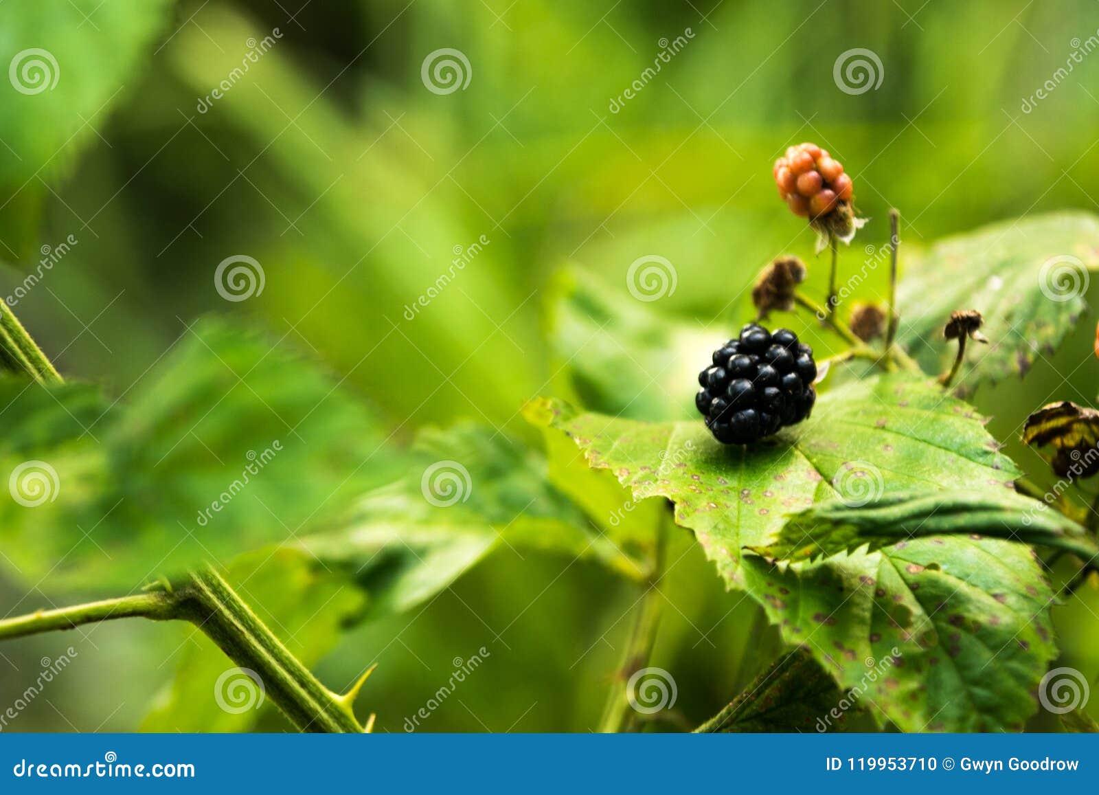 Blacberries sur la vigne avec le feuillage naturel