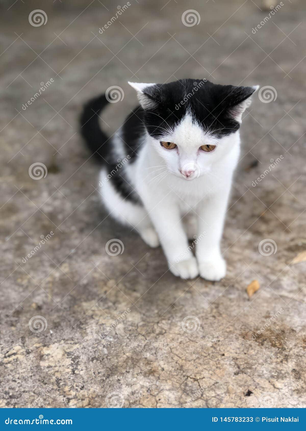 Black'n vit katt