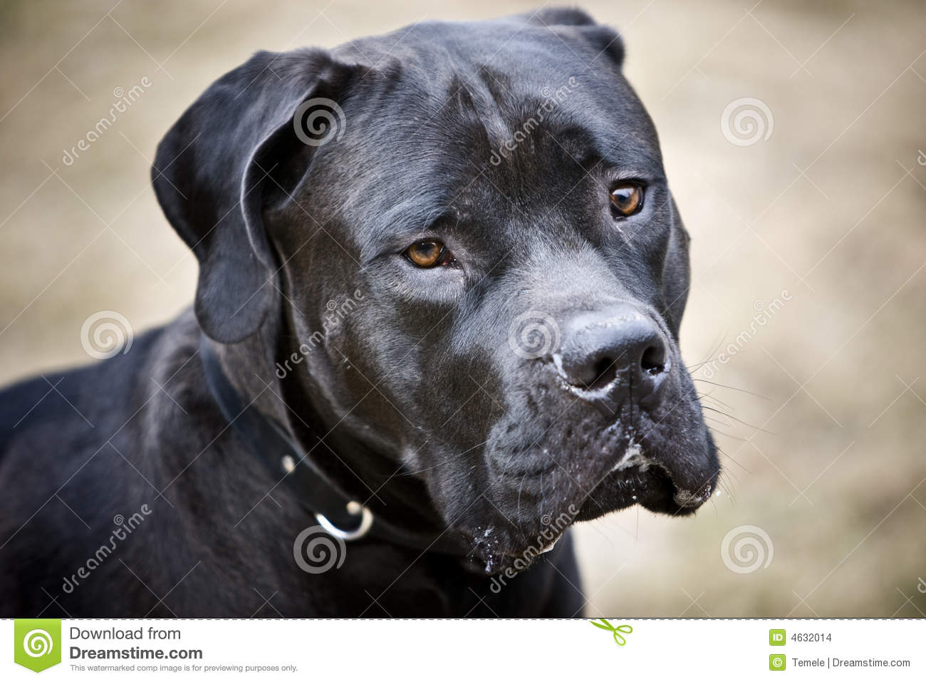 Black African Mastiff Stock Images - Image: 4632014