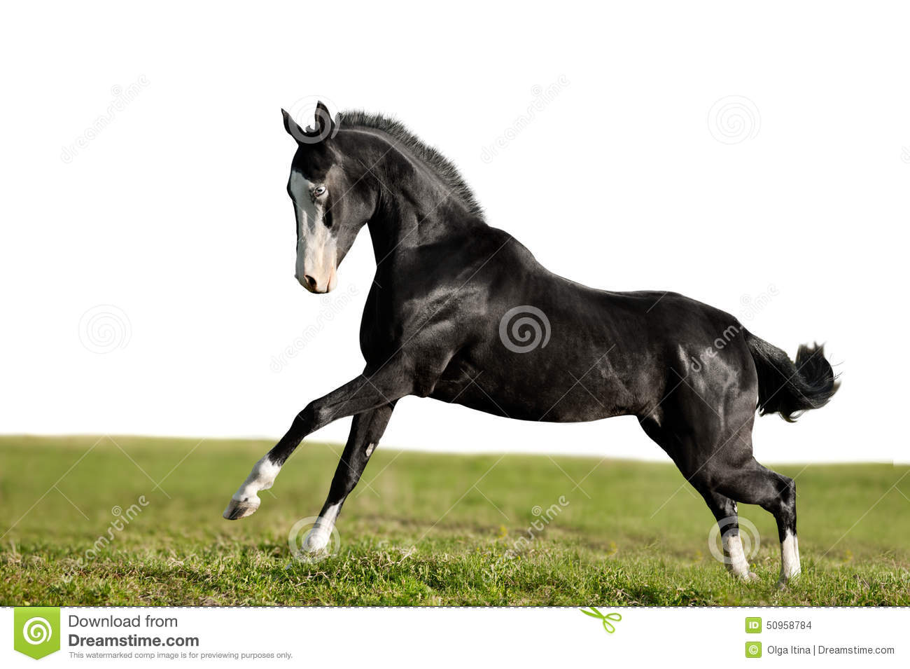 Black akhal-teke young stallion run gallop isolated on white