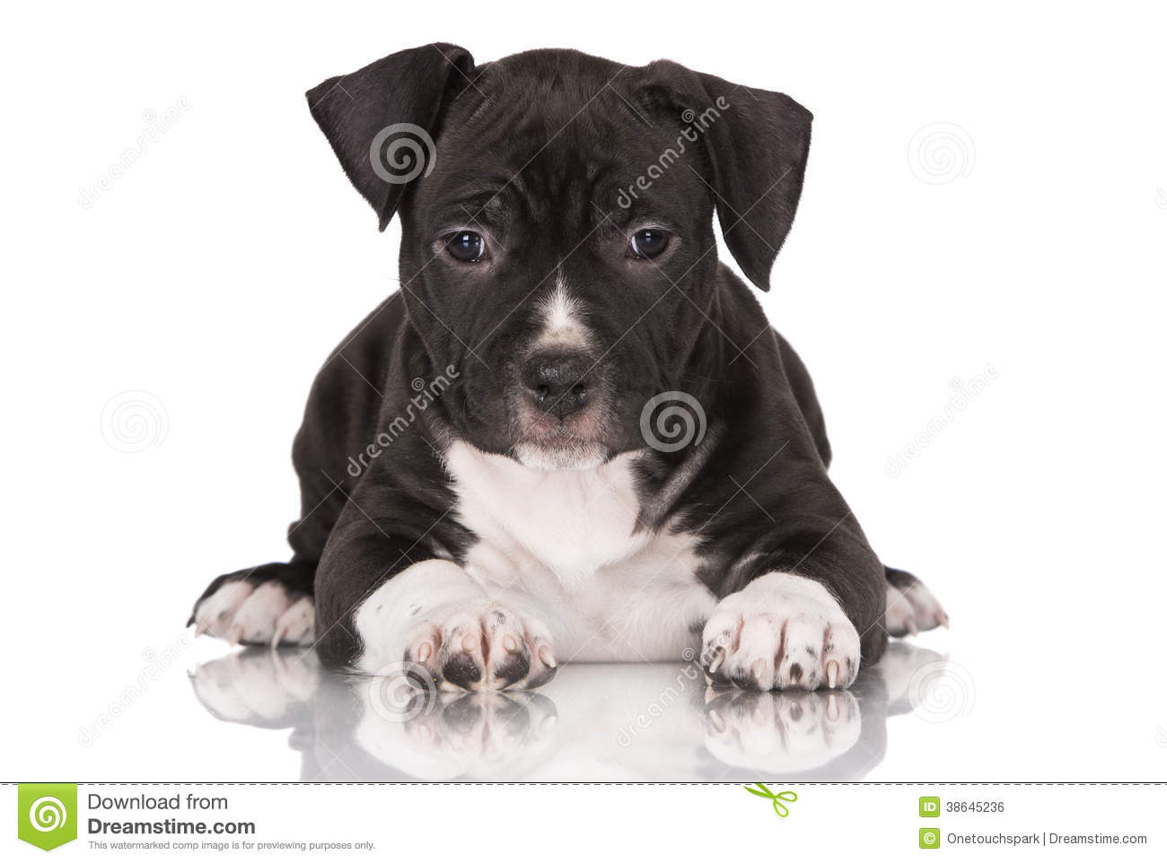Black American Staffordshire Terrier Puppy Stock Photo