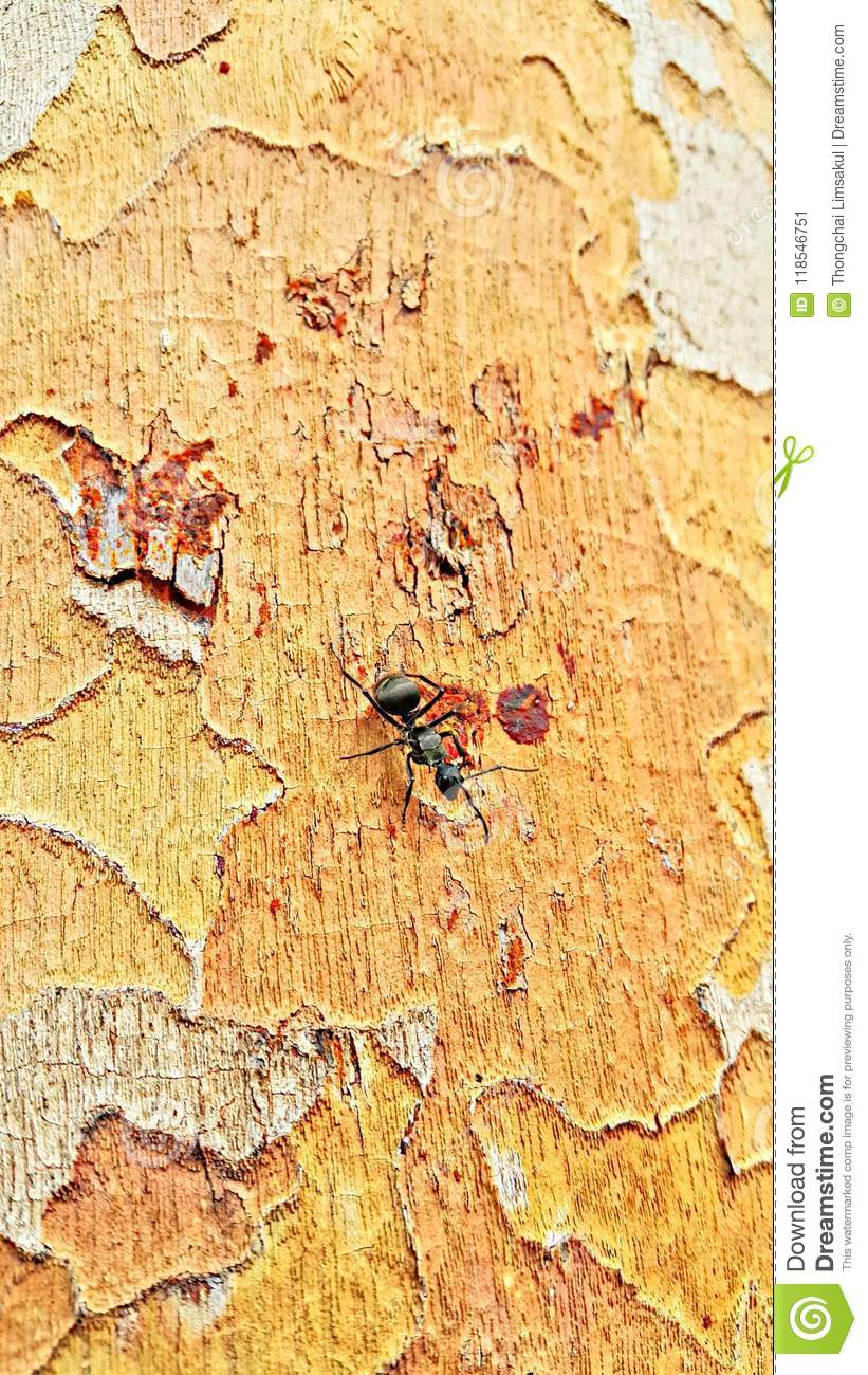 An Black Ant On The Golem Tree Bark  Stock Image - Image of insects
