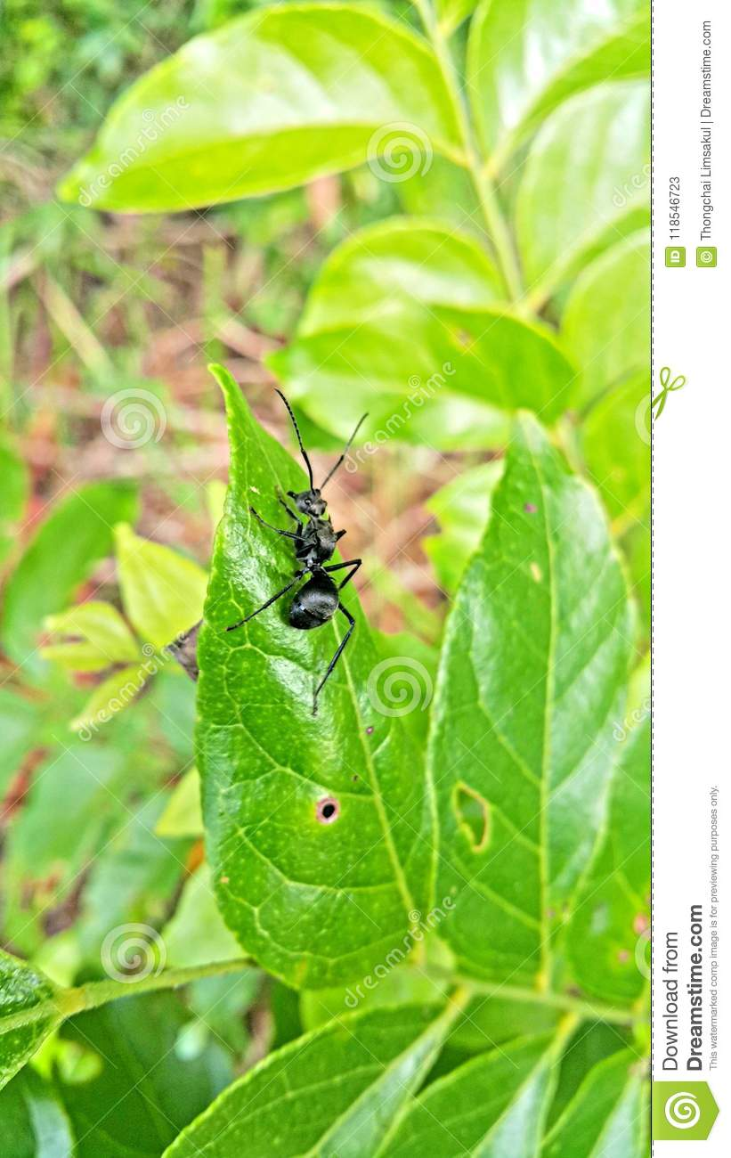 An Black Ant On The Green Leaf  Stock Image - Image of small, large