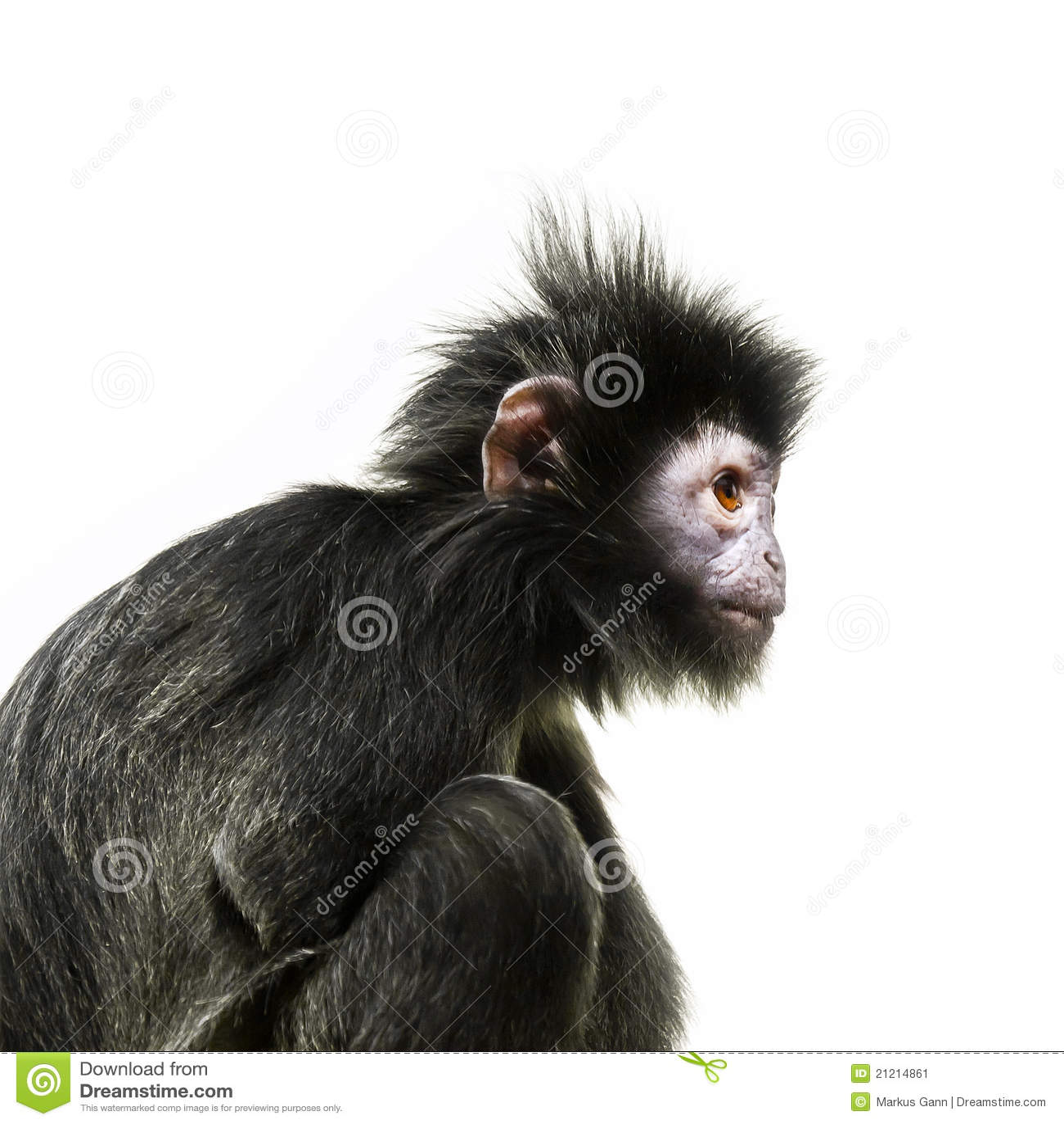 Black ape with orange eye