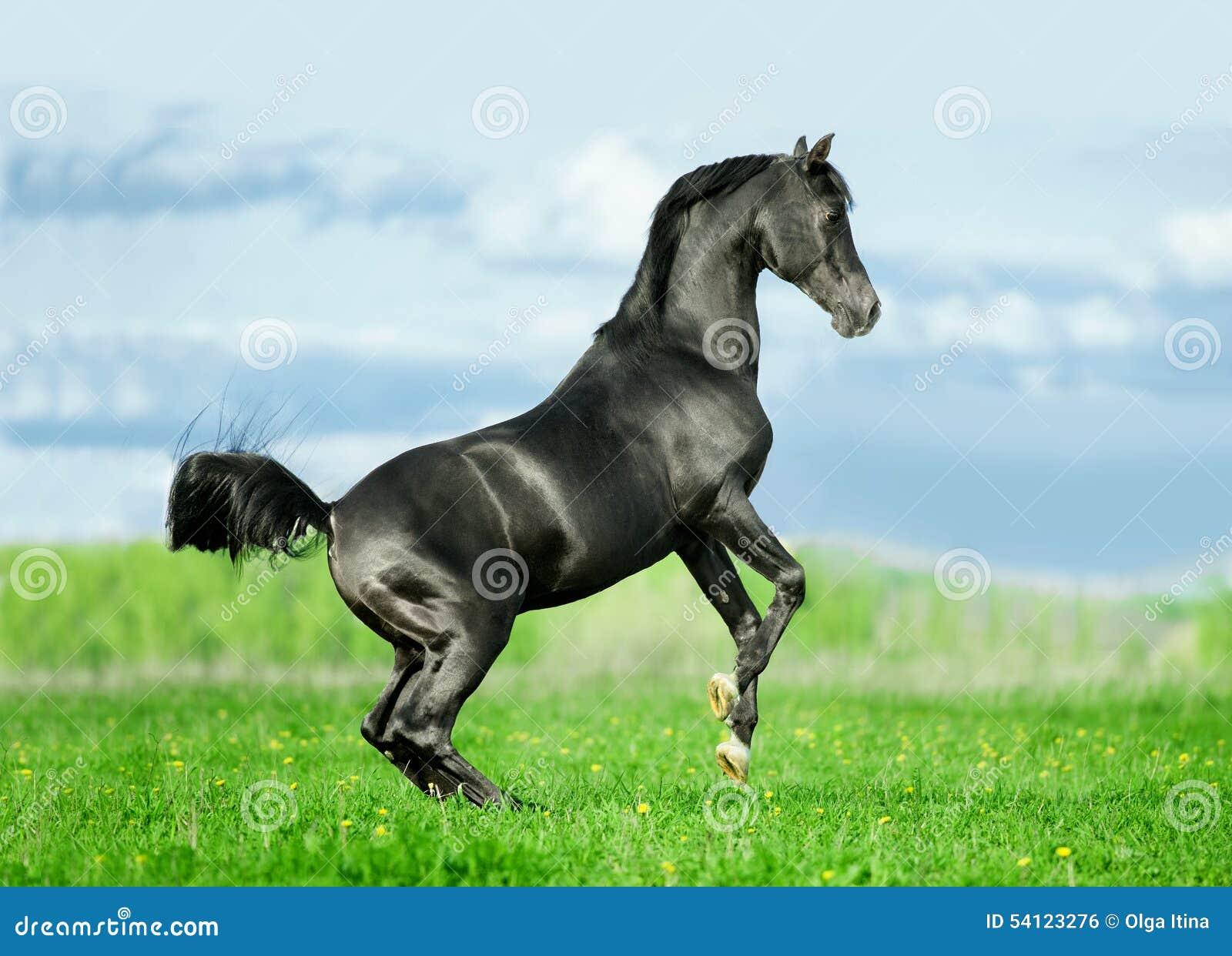 Black arabian stallion running