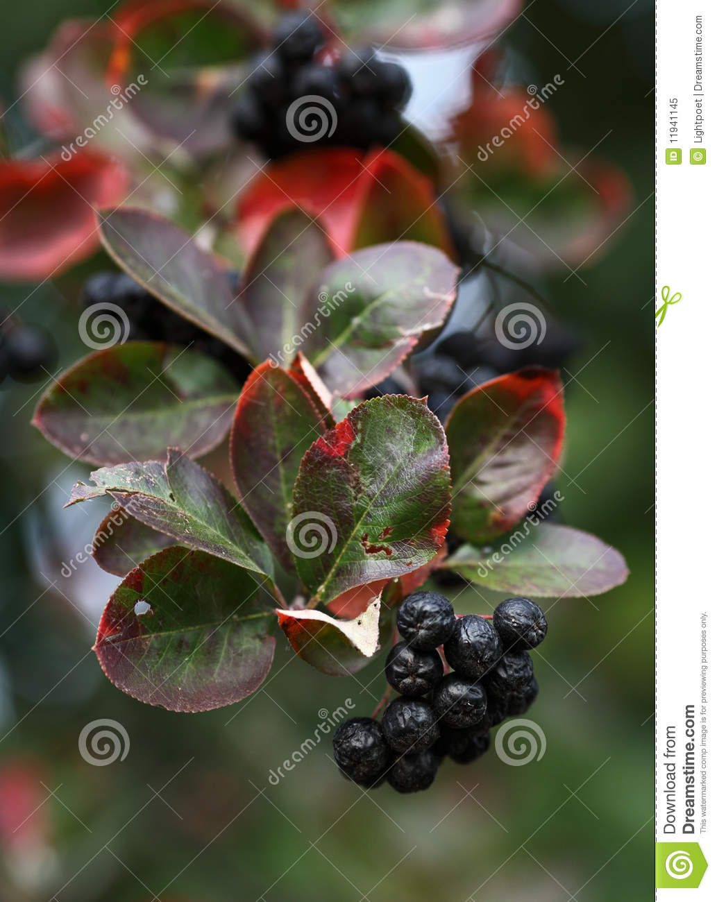Download Black ashberry stock image. Image of gardening, diet - 11941145