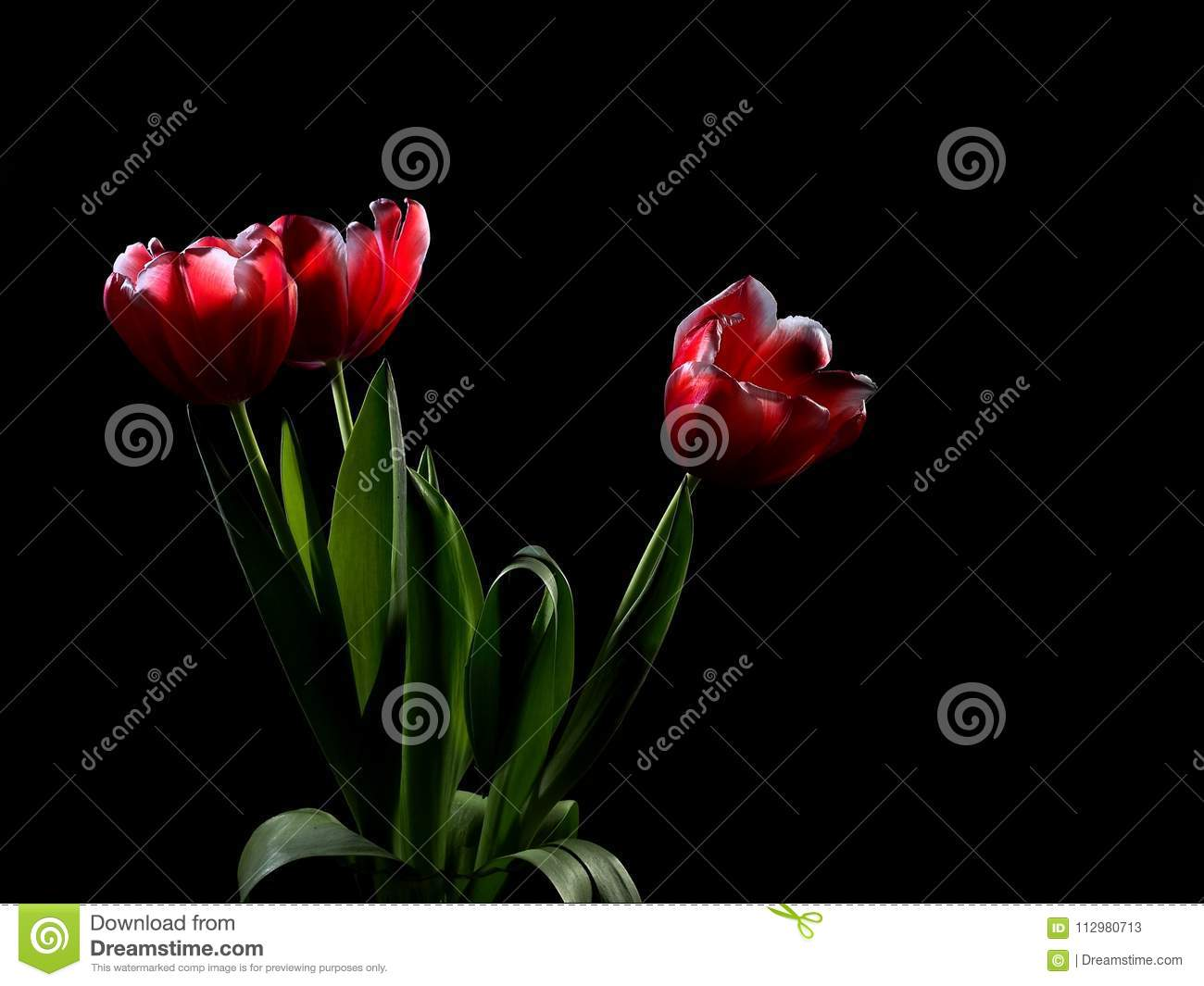 On a black background, in a glass vase for flowers is a bouquet of three tulips, presented to a beloved woman. Tulips glow, as if