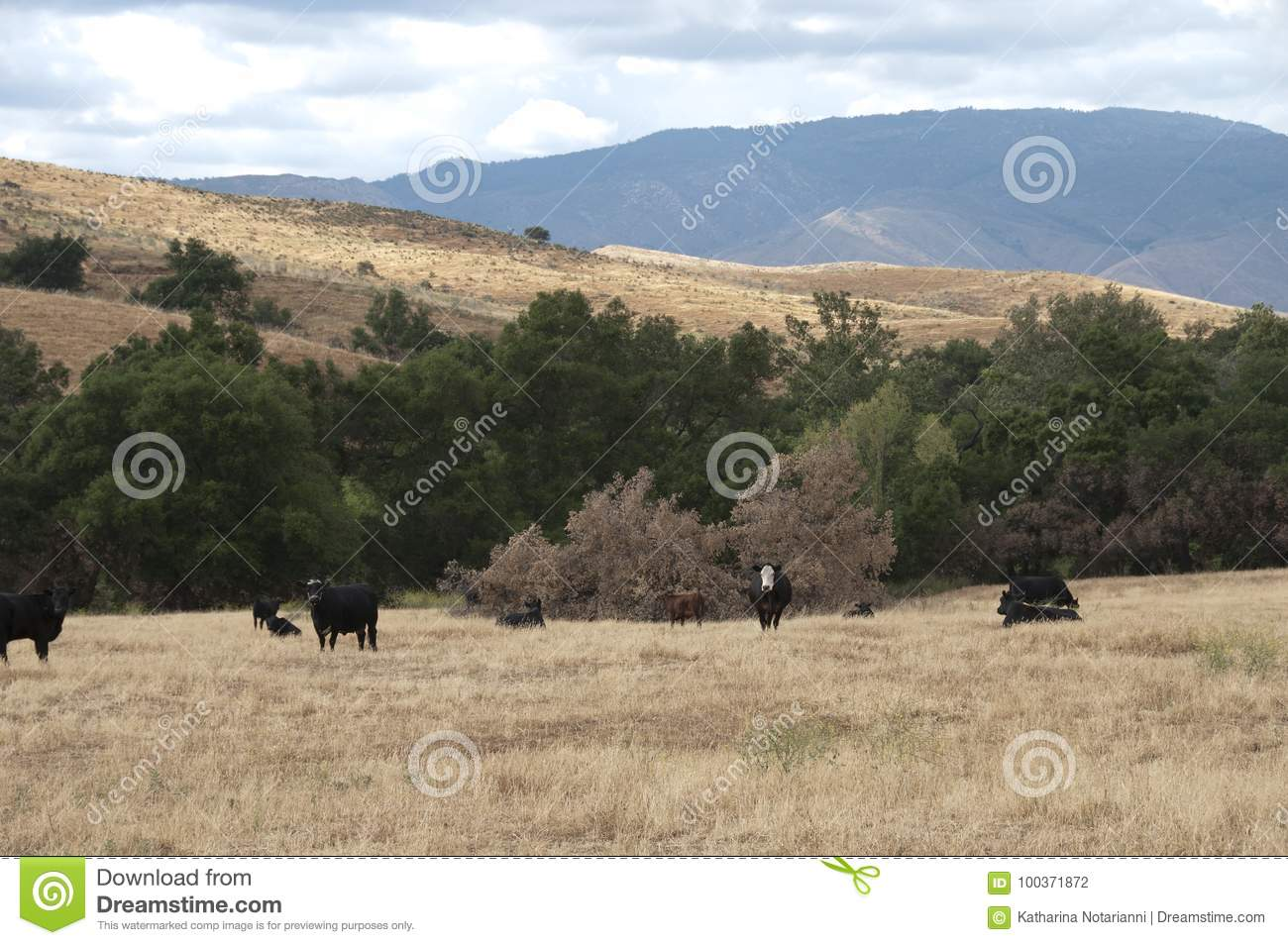 Black Baldy and Black Angus Cattle in a field
