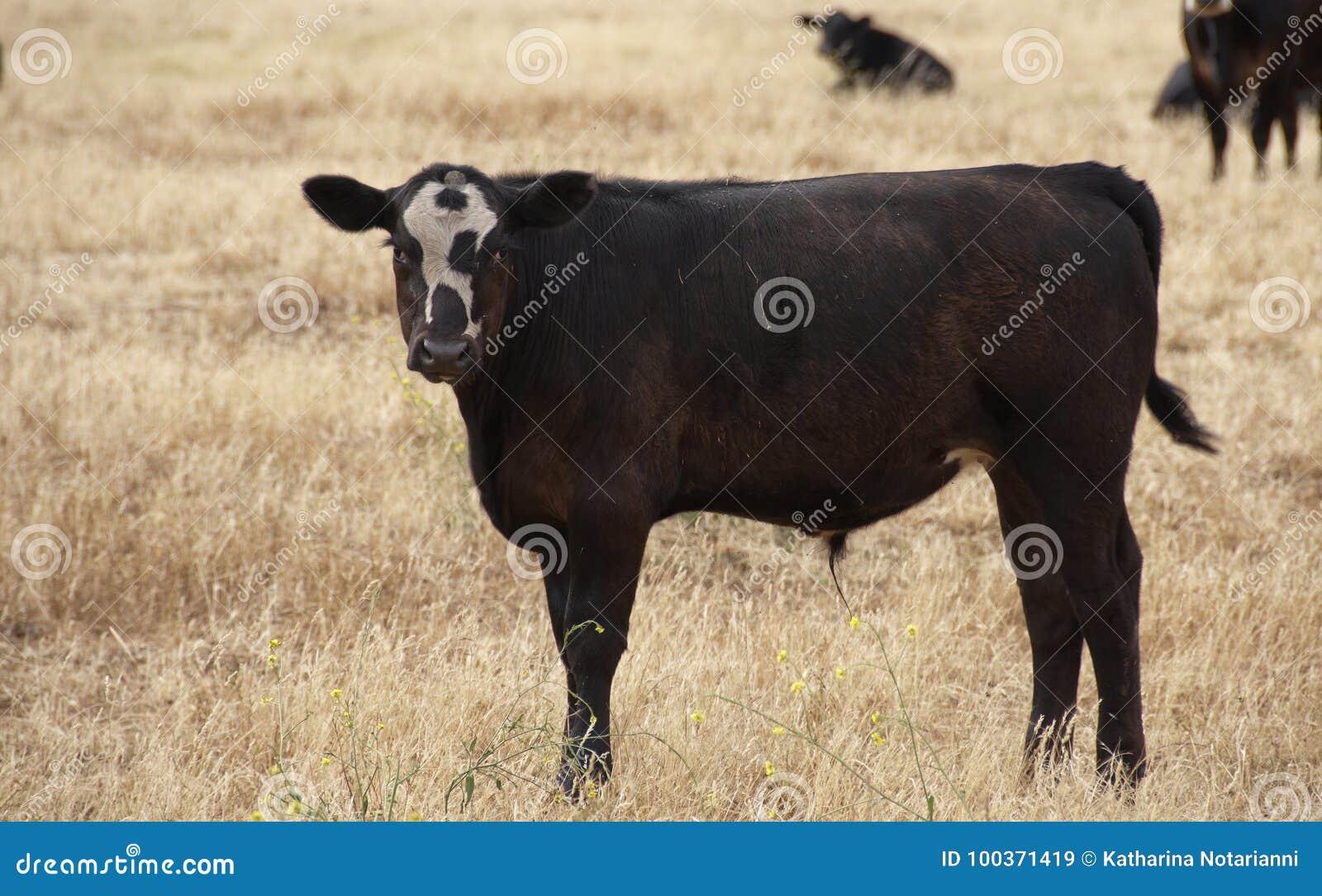 Baldy Calf