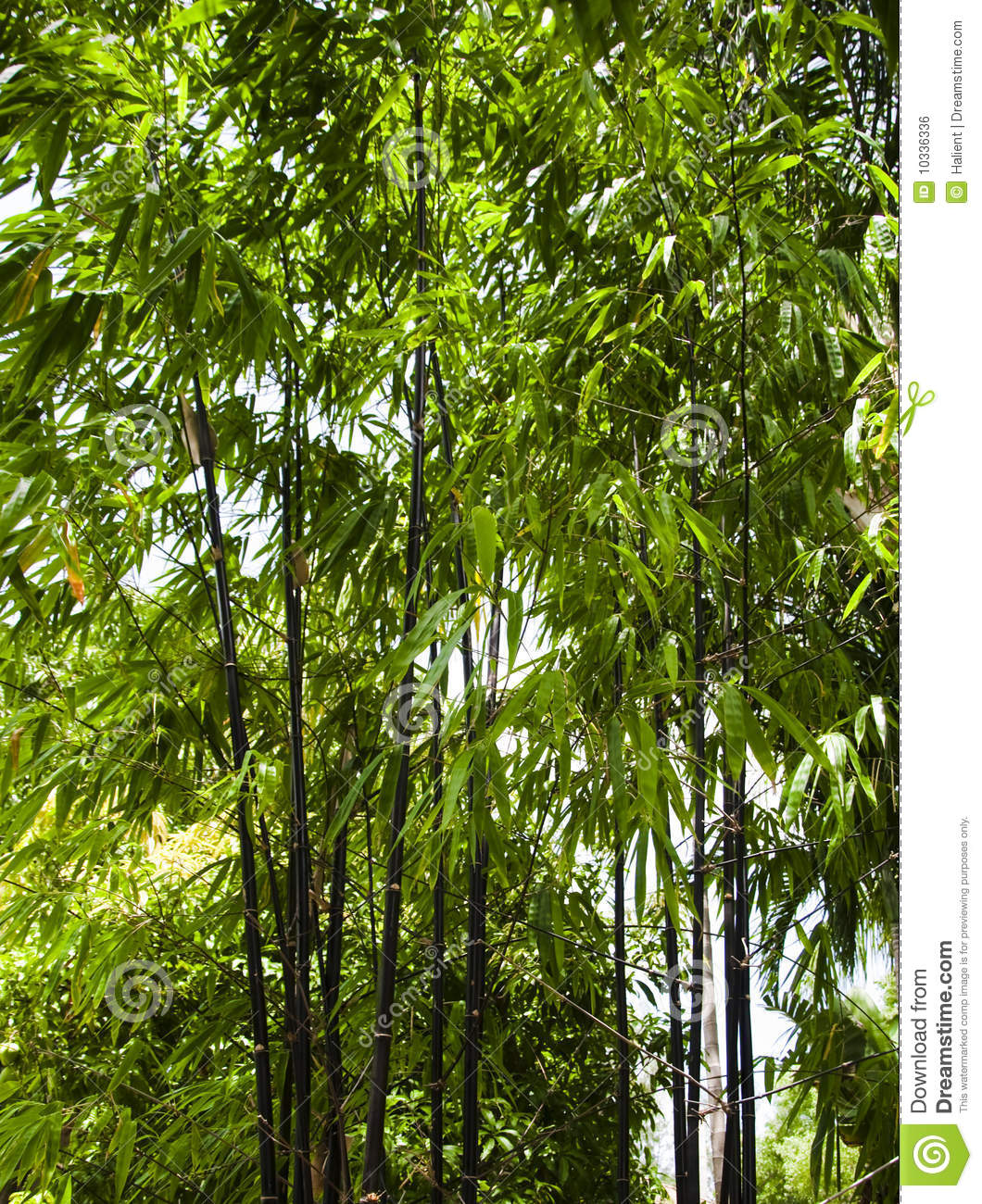 Black Bamboo Growing Outside Royalty Free Stock Image