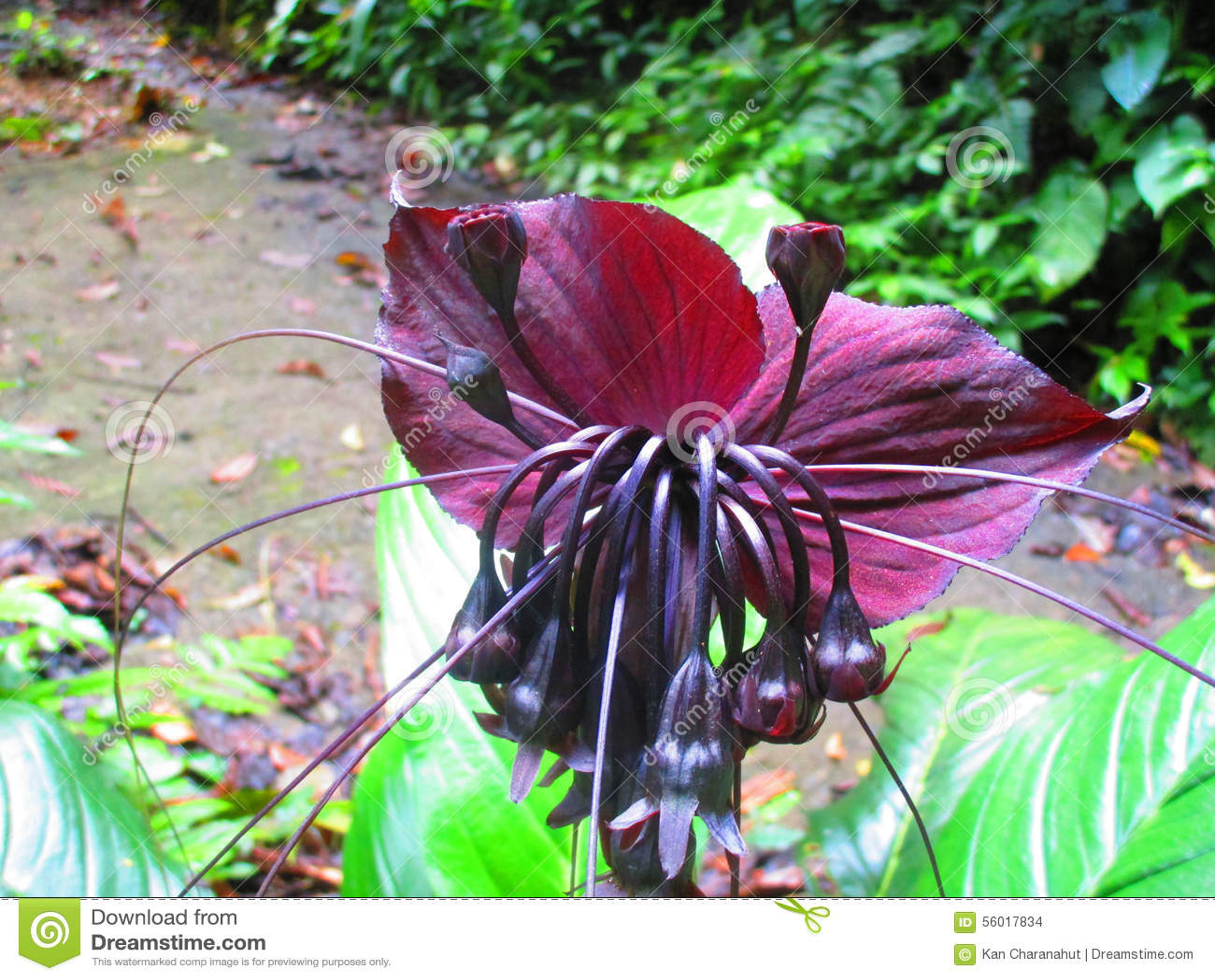 Black Bat Flowers Tacca Chantrieri The Genus Tacca Stock Image 5601