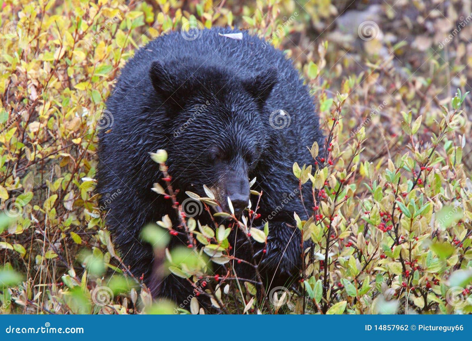 Black Bear along British Columbia highway