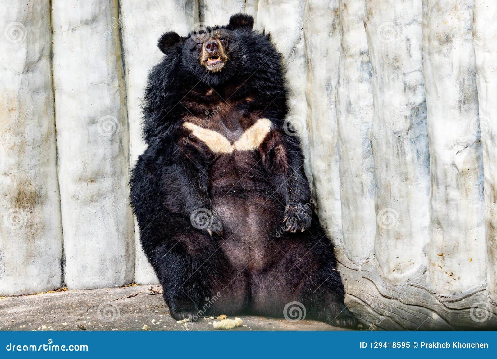 black bear asiatic black bear x28 selenarctos thibetanus x29