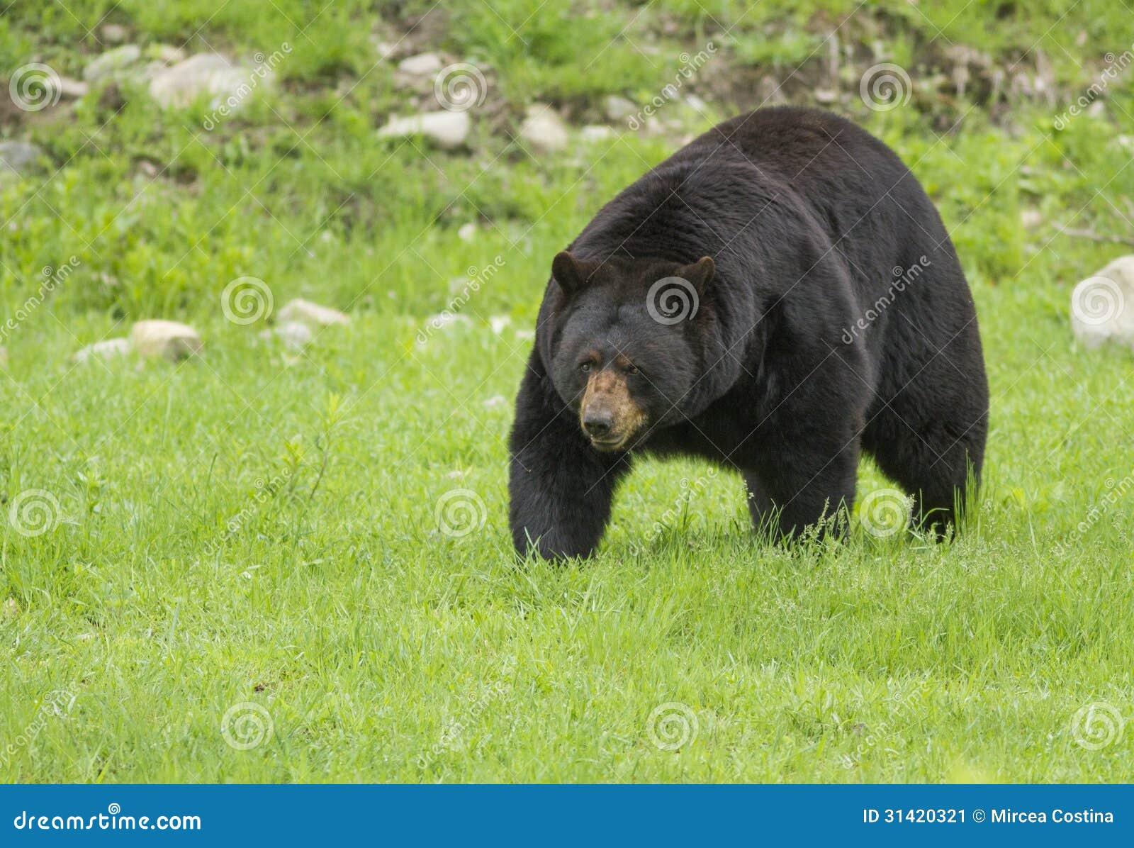 Big male black bear (Ursus Americanus) in spring.